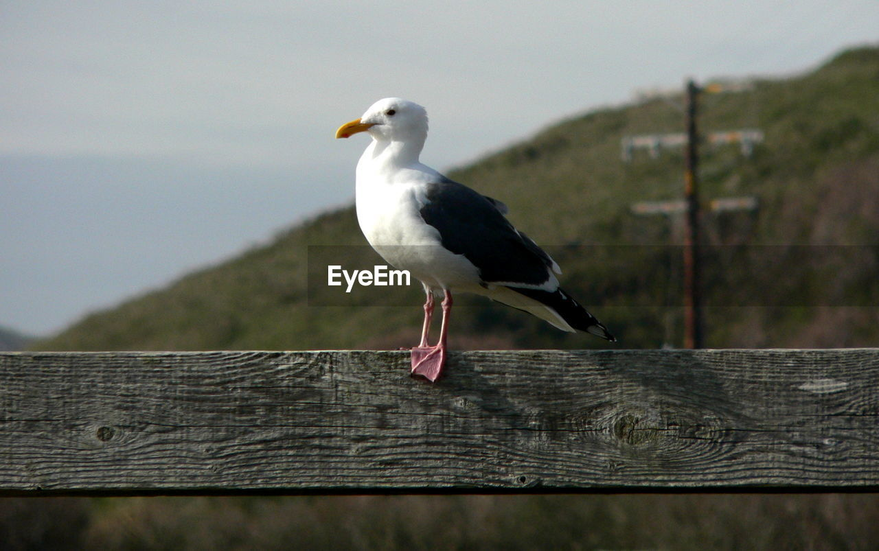 wood - material, bird, one animal, animal wildlife, perching, vertebrate, animal themes, animals in the wild, animal, railing, focus on foreground, barrier, seagull, boundary, fence, no people, day, nature, outdoors, close-up, wooden post