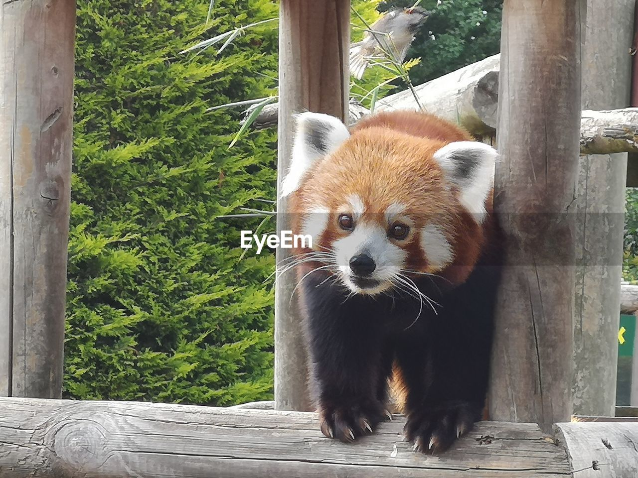 one animal, animal themes, animal, animal wildlife, red panda, mammal, animals in the wild, day, vertebrate, no people, wood - material, tree, plant, zoo, outdoors, looking away, nature, focus on foreground, looking, panda - animal, whisker, mouth open