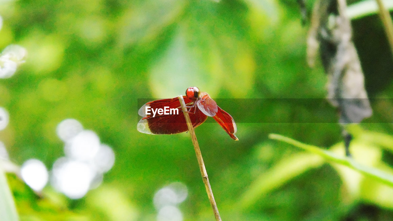 animal wildlife, animals in the wild, invertebrate, red, animal themes, insect, animal, plant, one animal, focus on foreground, close-up, day, nature, no people, beauty in nature, ladybug, growth, selective focus, outdoors, green color