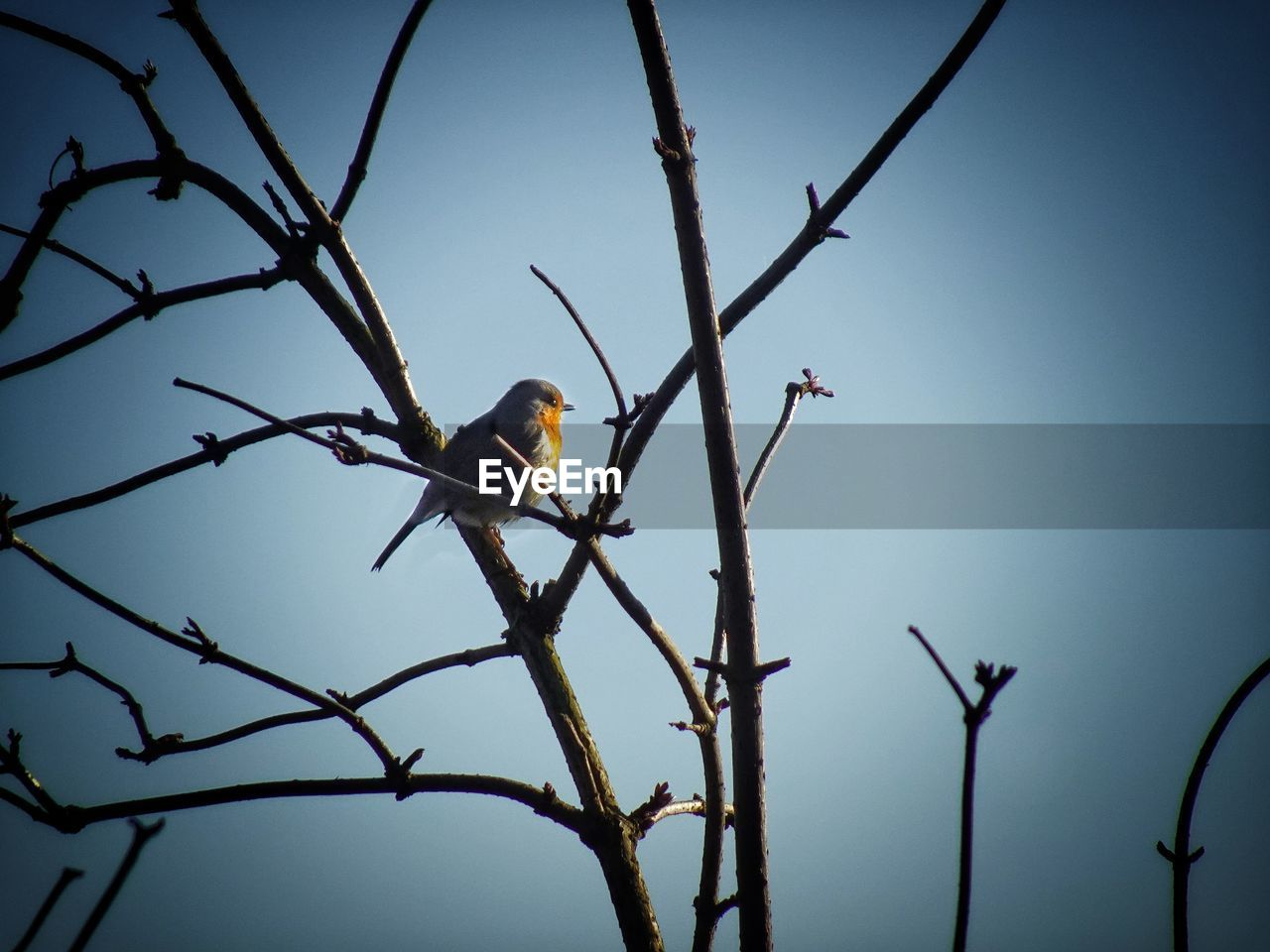 animals in the wild, bird, animal wildlife, vertebrate, animal, animal themes, one animal, tree, sky, branch, low angle view, perching, clear sky, plant, no people, nature, day, outdoors, bare tree, yellow