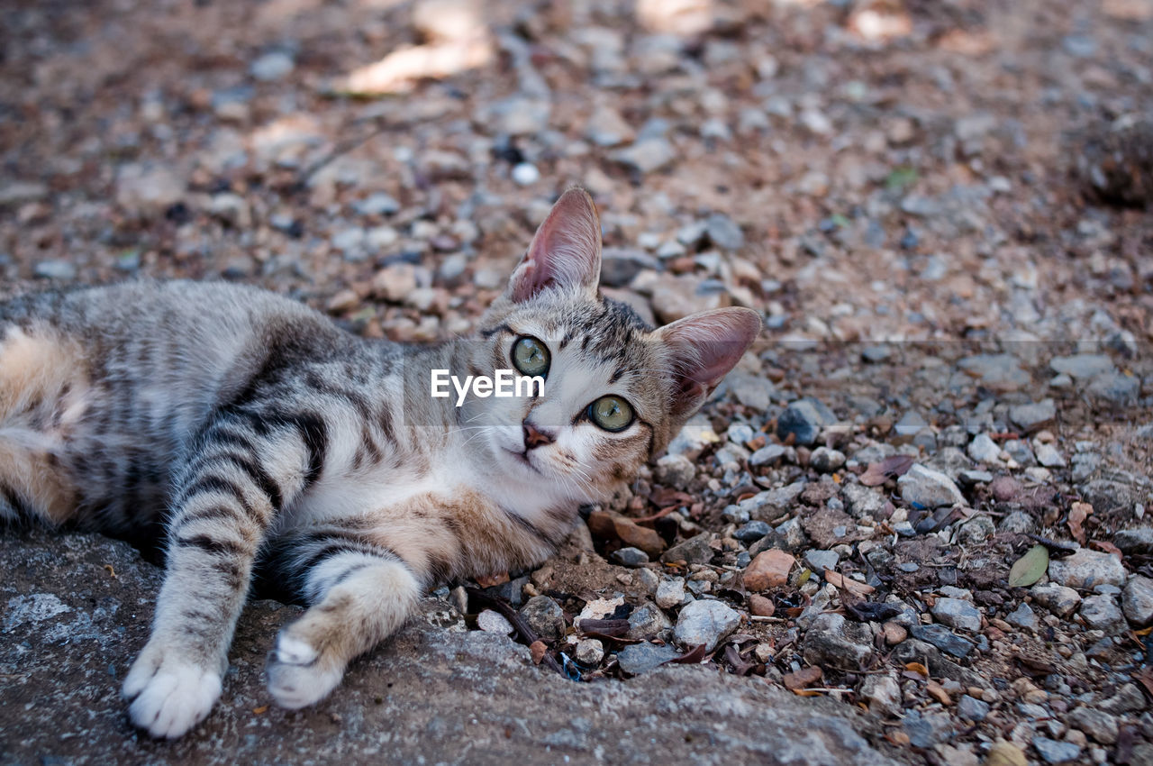 PORTRAIT OF CAT LYING ON PEBBLES