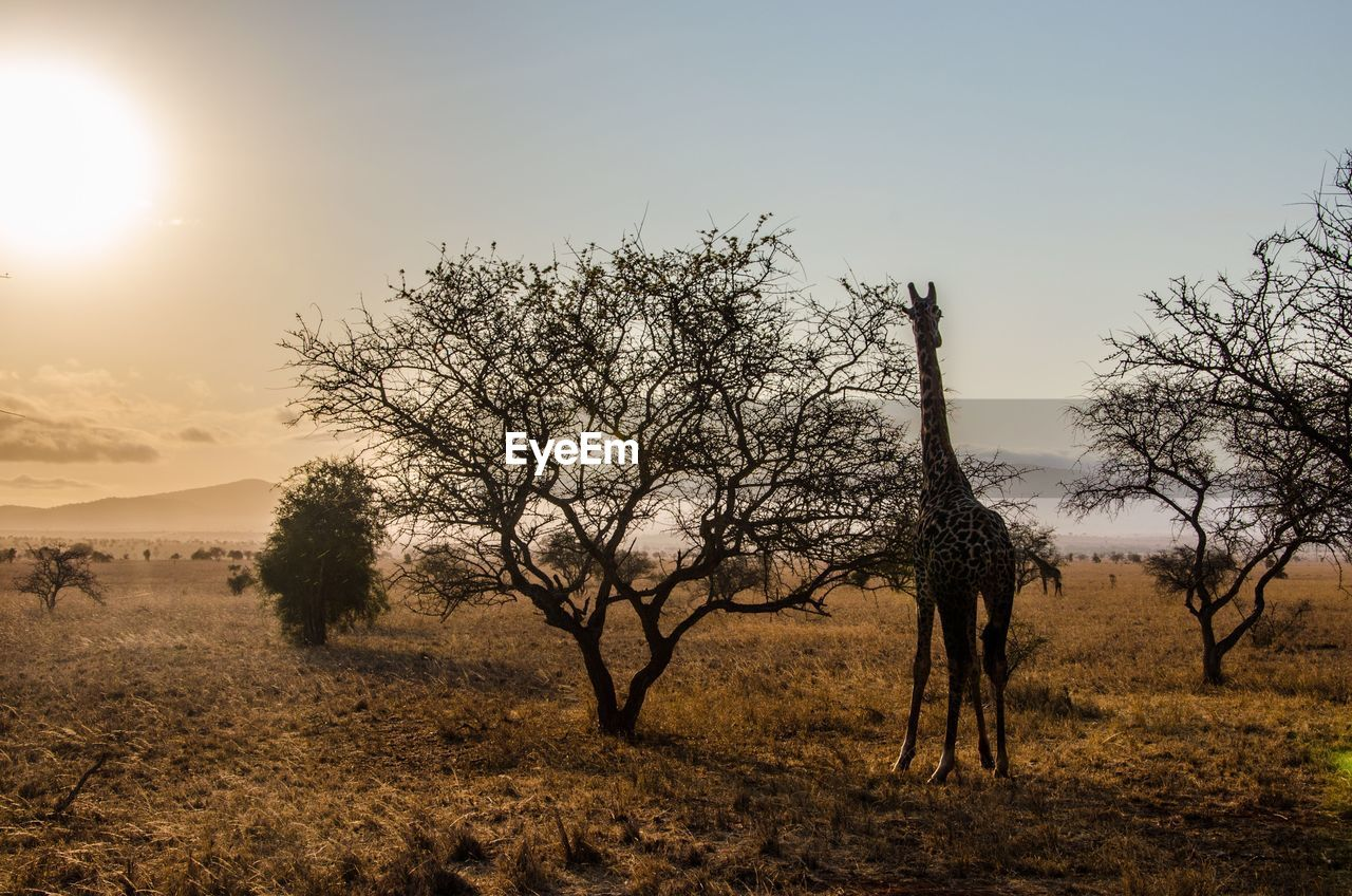 sky, tree, tranquility, plant, scenics - nature, beauty in nature, tranquil scene, land, sun, environment, field, nature, landscape, non-urban scene, no people, sunlight, outdoors, bare tree, sunset, clear sky, climate, arid climate