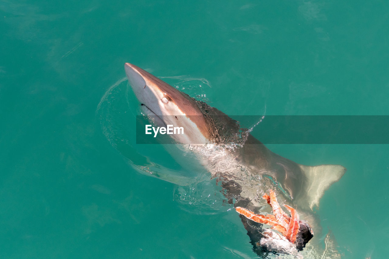 High angle view of shark swimming in sea