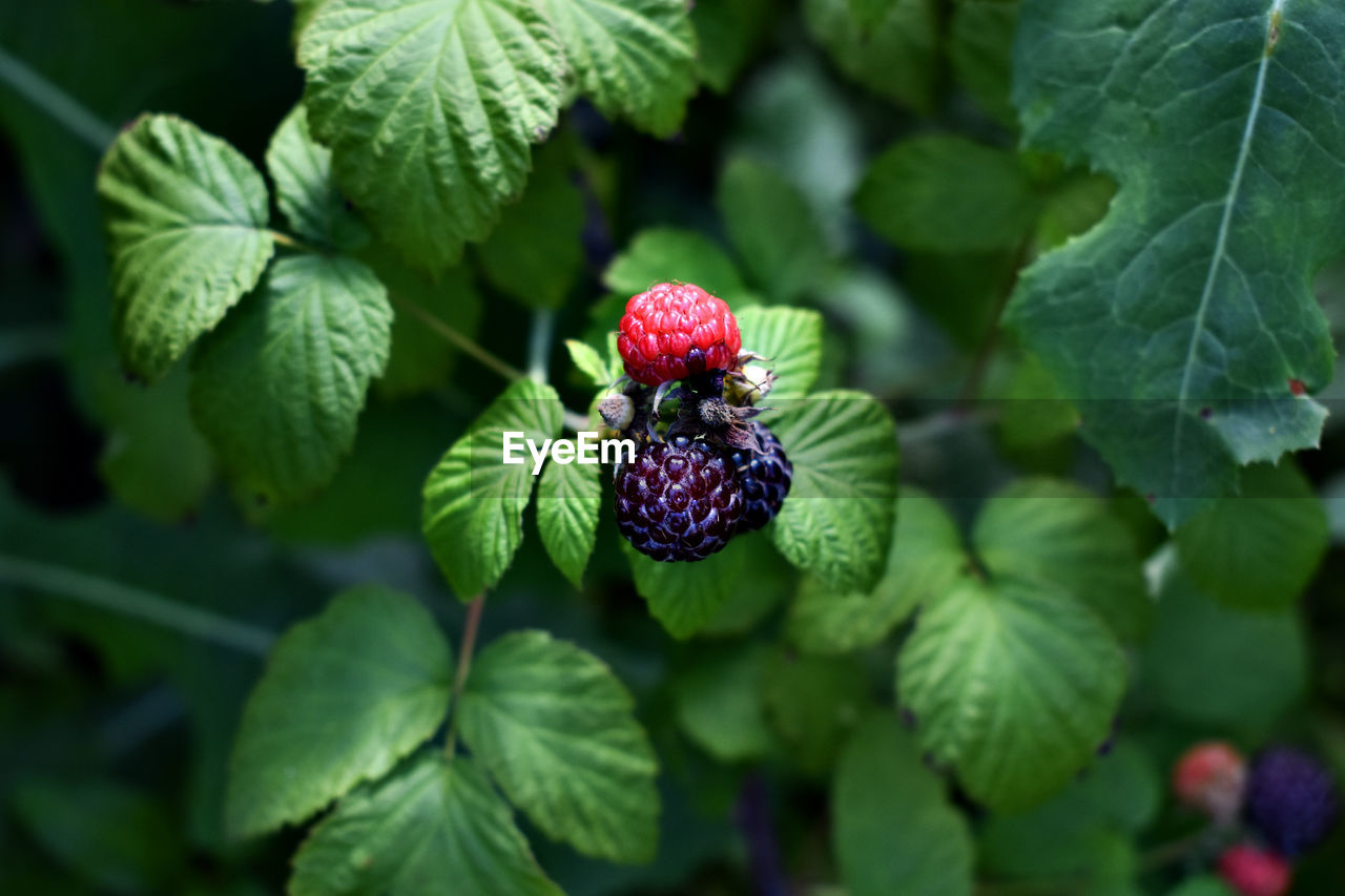 fruit, berry fruit, healthy eating, leaf, plant part, food and drink, green color, growth, food, freshness, close-up, plant, wellbeing, focus on foreground, nature, raspberry, day, blackberry - fruit, no people, beauty in nature, ripe