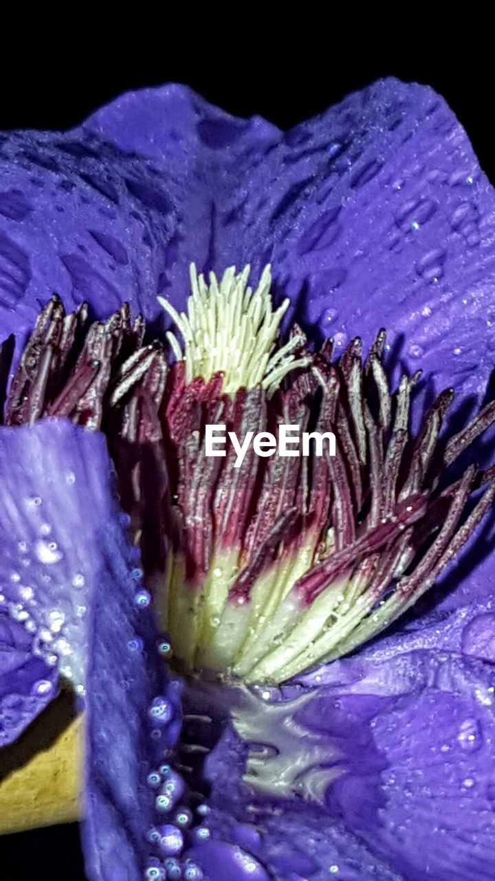 flower, beauty in nature, petal, flower head, nature, fragility, purple, freshness, close-up, no people, growth, plant, water, exoticism, day, outdoors, blooming, passion flower