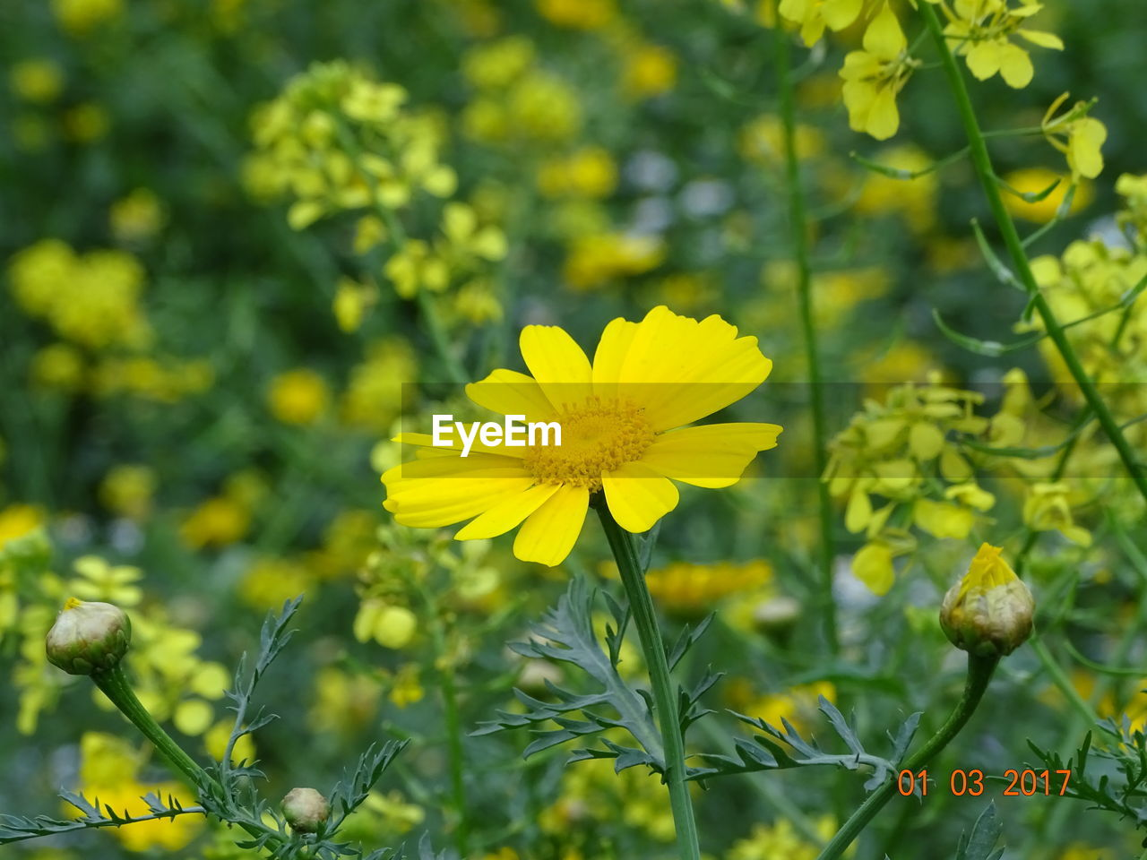 flower, yellow, nature, growth, beauty in nature, petal, fragility, flower head, plant, freshness, blooming, no people, outdoors, day, field, close-up