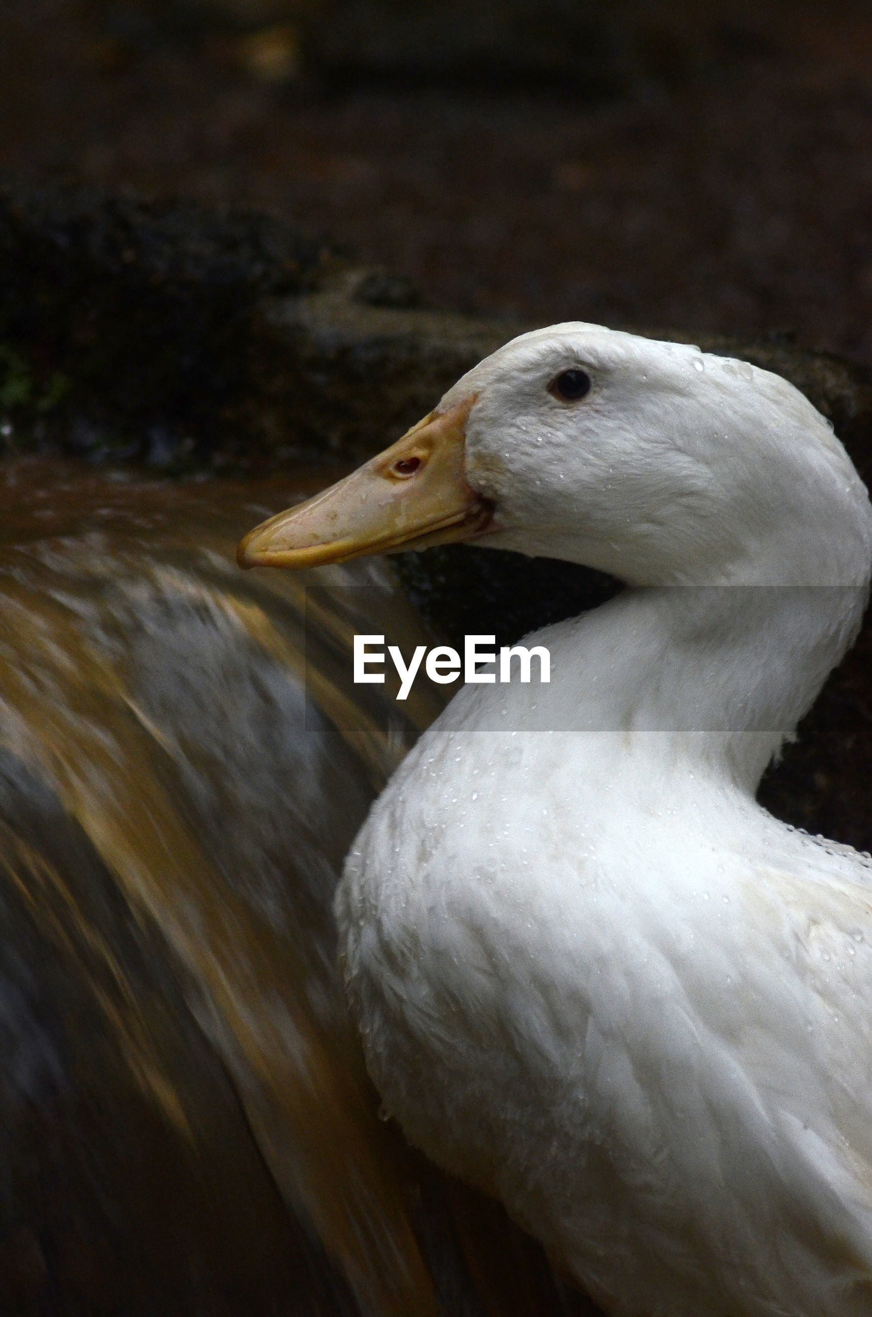 Close up white duck