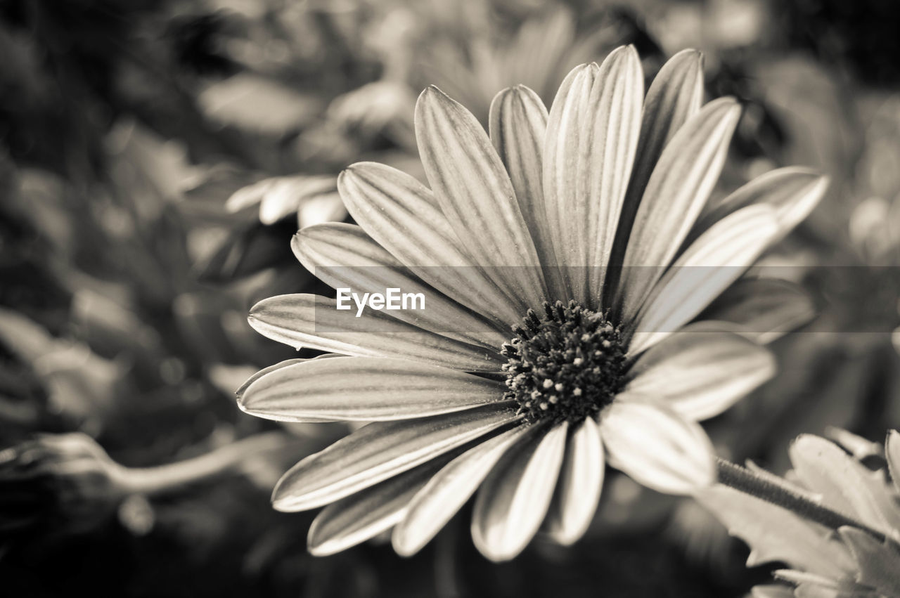 flower, petal, nature, flower head, focus on foreground, beauty in nature, growth, blooming, osteospermum, fragility, freshness, outdoors, day, no people, plant, close-up