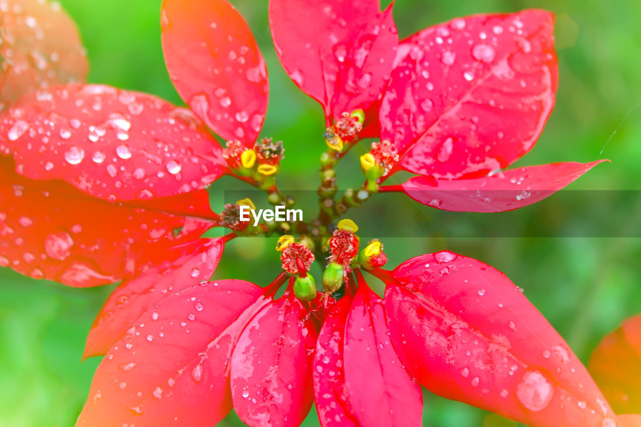 drop, close-up, water, plant, wet, growth, beauty in nature, vulnerability, flower, flowering plant, fragility, freshness, red, petal, no people, nature, flower head, inflorescence, pollen, rain, outdoors, rainy season, raindrop, dew