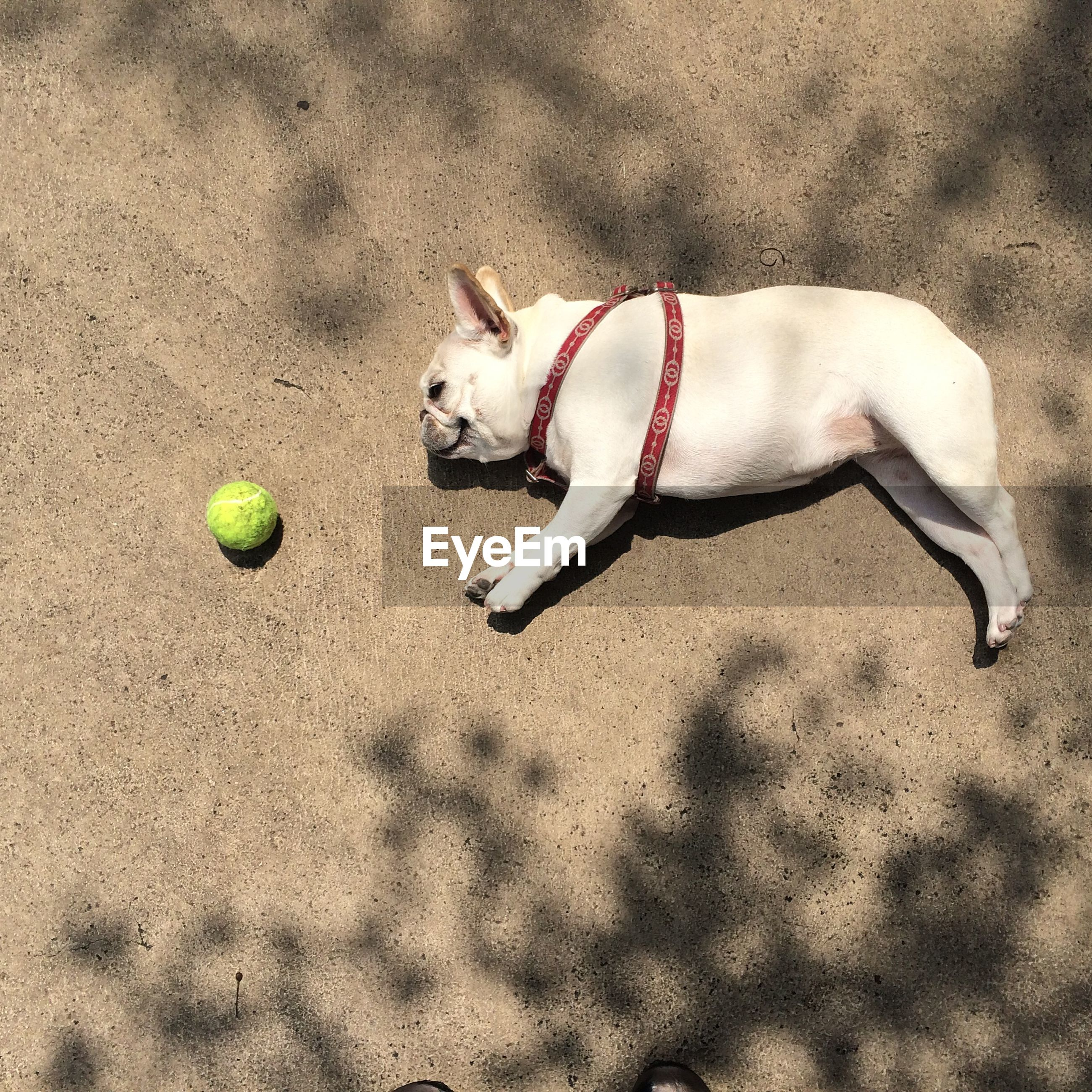 High angle view of tired french bulldog lying with ball on footpath