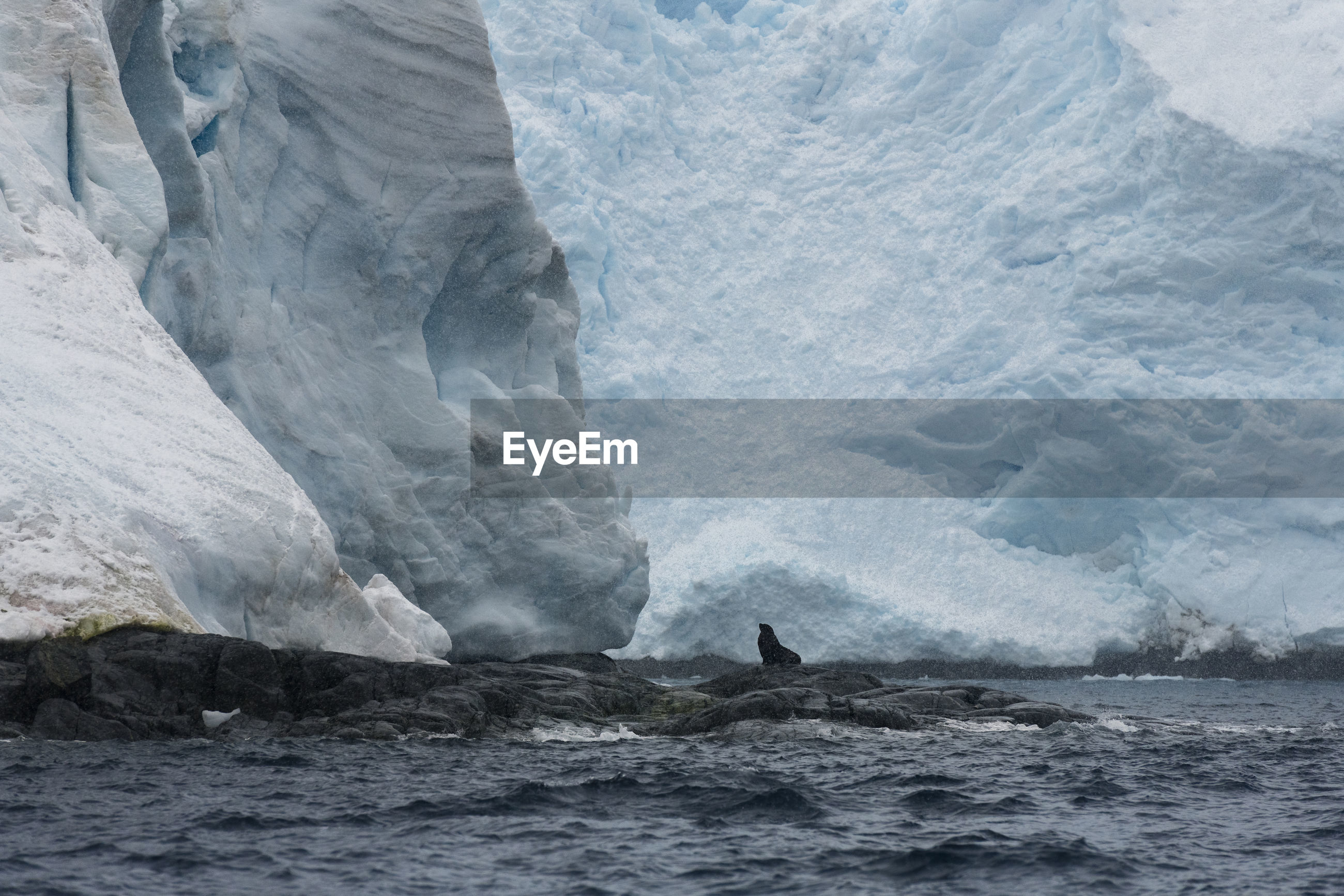 A fur seal sitting on a cliff under a glacier on brabant island in antarctica.
