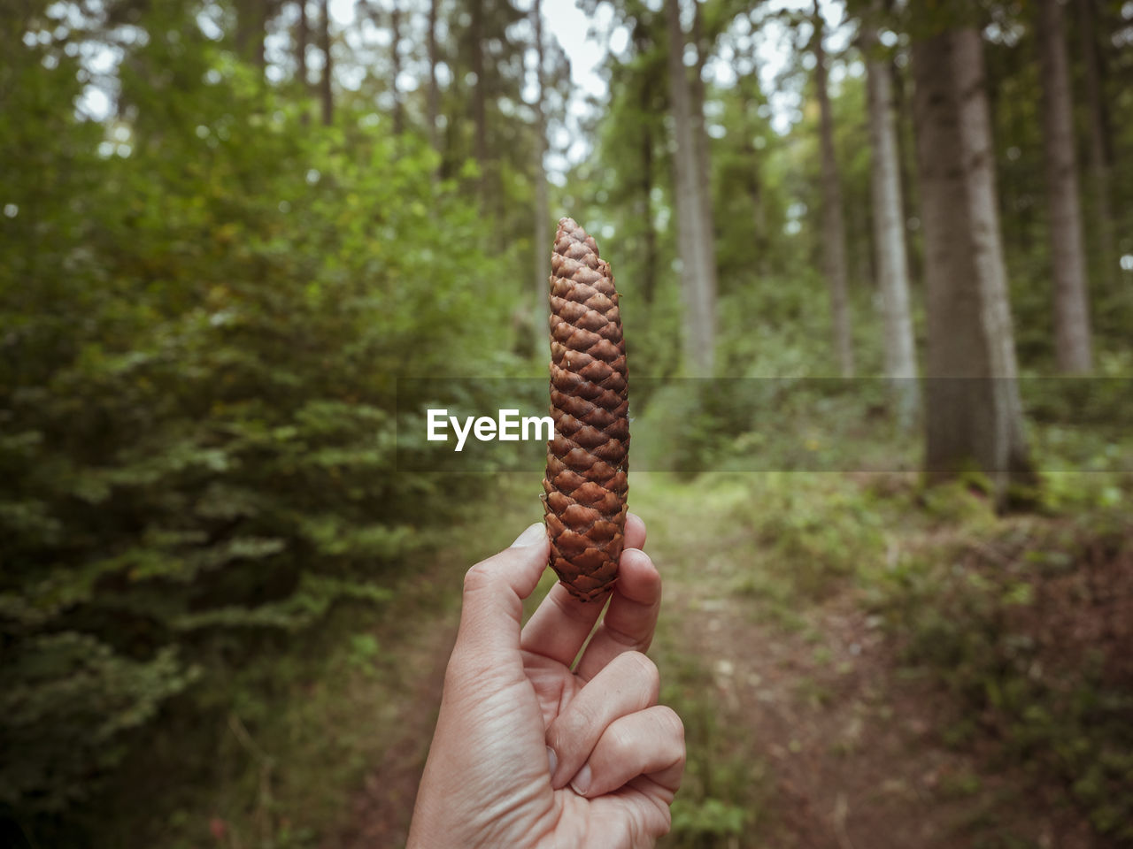 Cropped Image Of Hand Holding Pine Cone At Forest