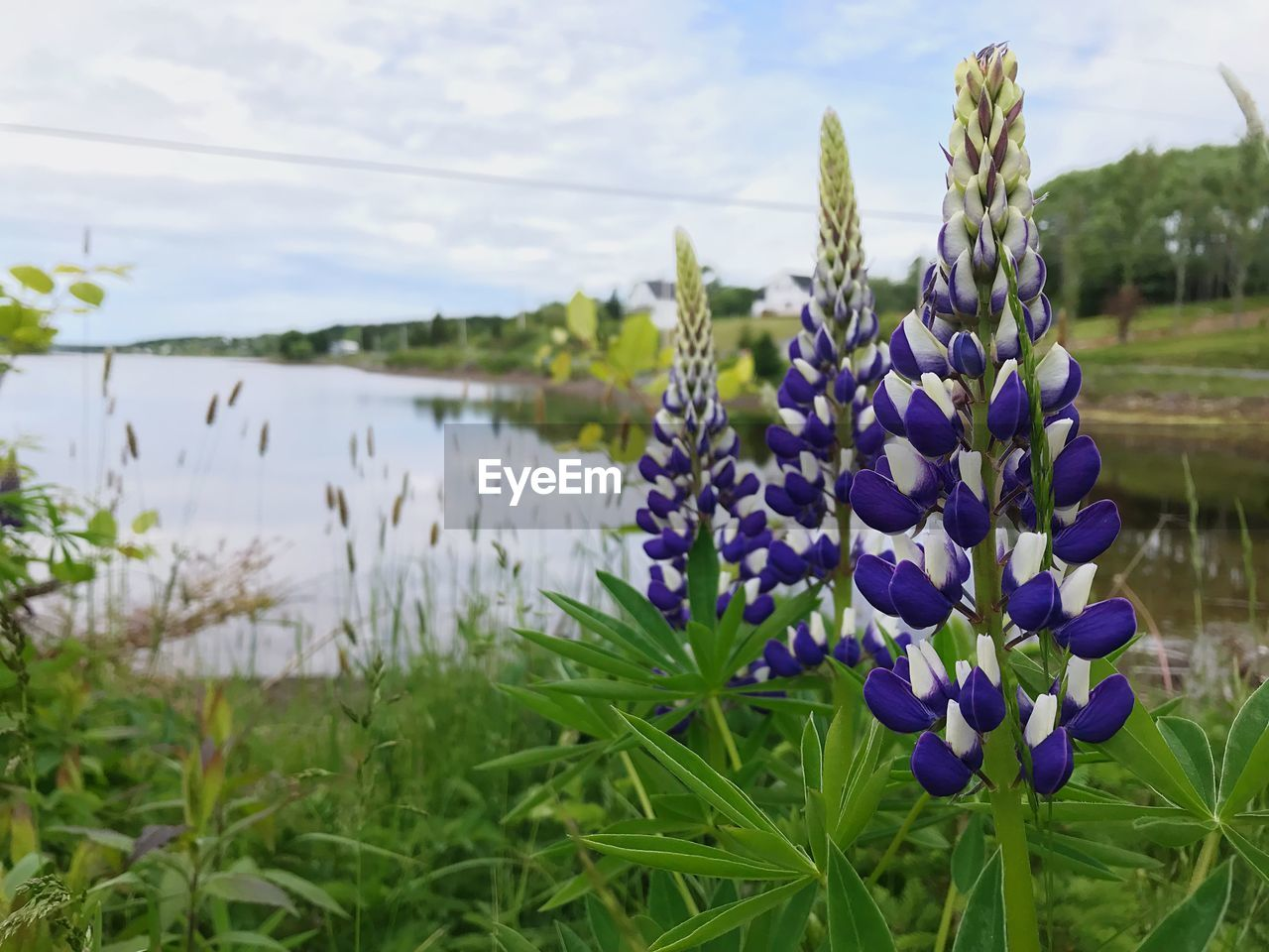 plant, flowering plant, flower, beauty in nature, growth, purple, vulnerability, fragility, freshness, nature, focus on foreground, land, close-up, field, sky, no people, tranquility, day, water, outdoors, lavender, flower head