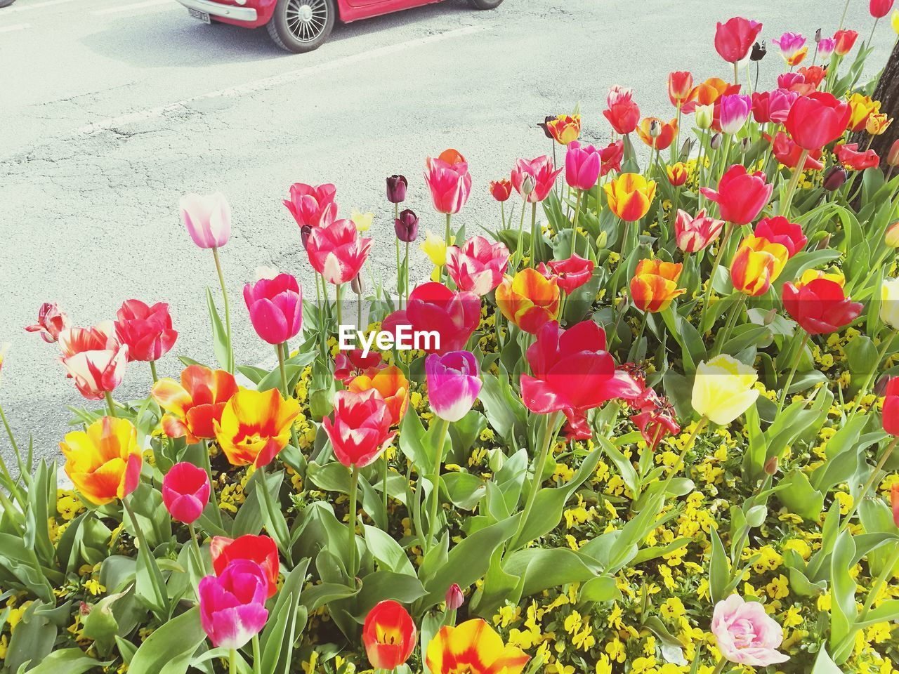 flower, flowering plant, plant, petal, vulnerability, freshness, fragility, beauty in nature, growth, flower head, nature, inflorescence, tulip, red, day, plant part, close-up, no people, leaf, pink color, outdoors, springtime, flowerbed, flower arrangement