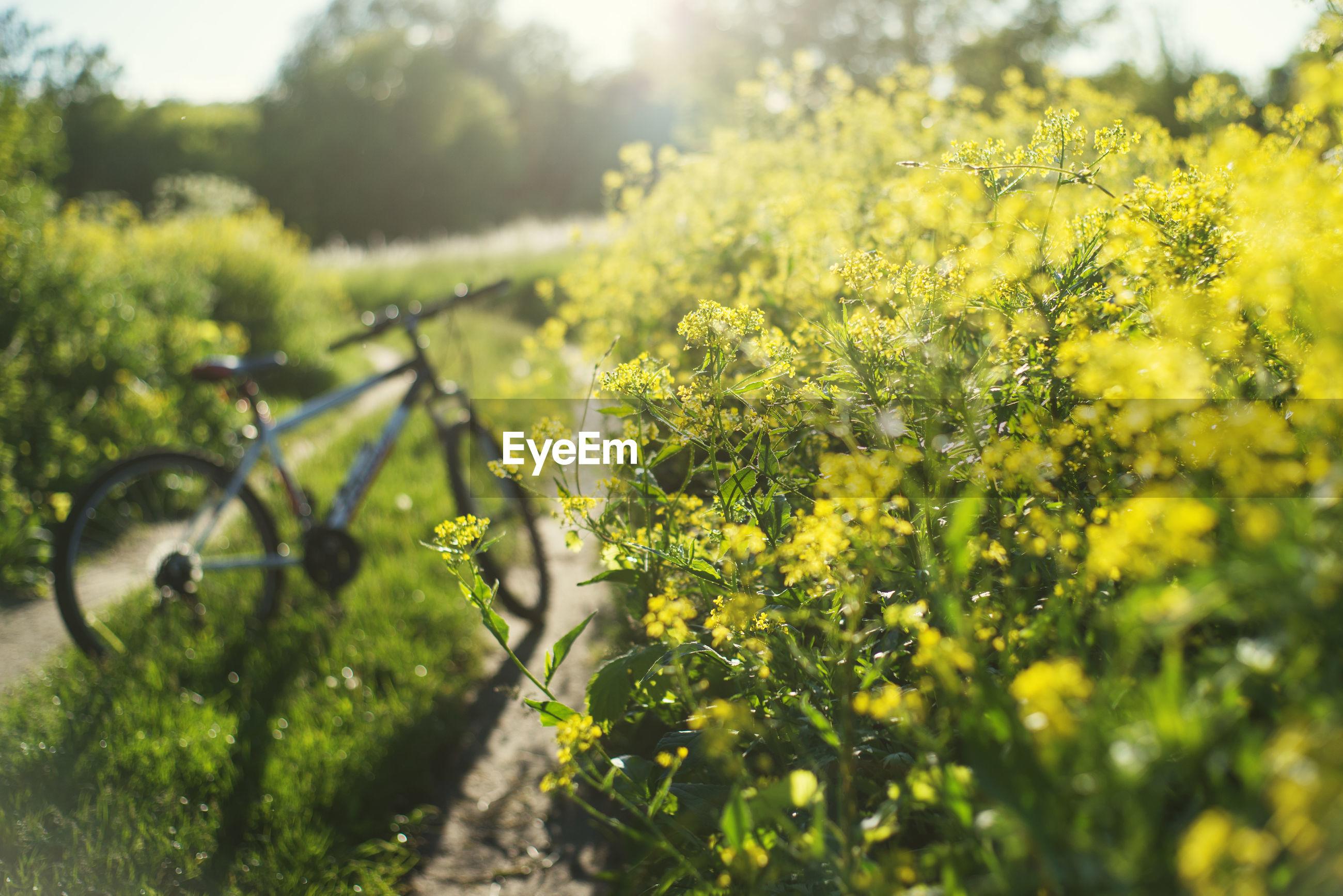 YELLOW FLOWERING PLANTS IN FIELD