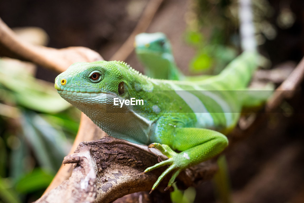 animal themes, animal, animal wildlife, one animal, animals in the wild, green color, vertebrate, reptile, focus on foreground, lizard, close-up, no people, nature, plant, day, outdoors, plant part, animal body part, leaf, selective focus, animal head, animal scale, animal eye