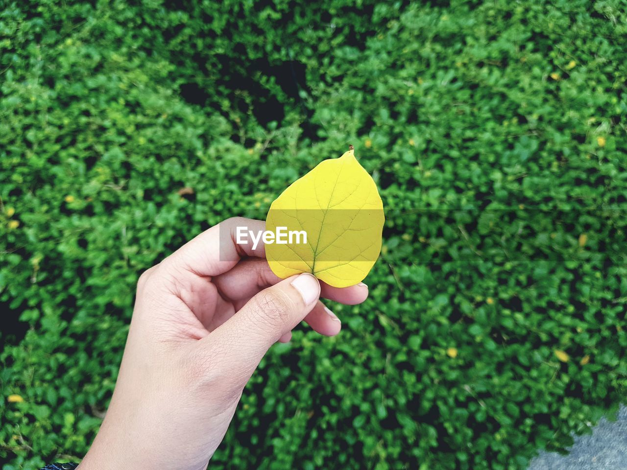 Cropped image of person holding yellow leaf