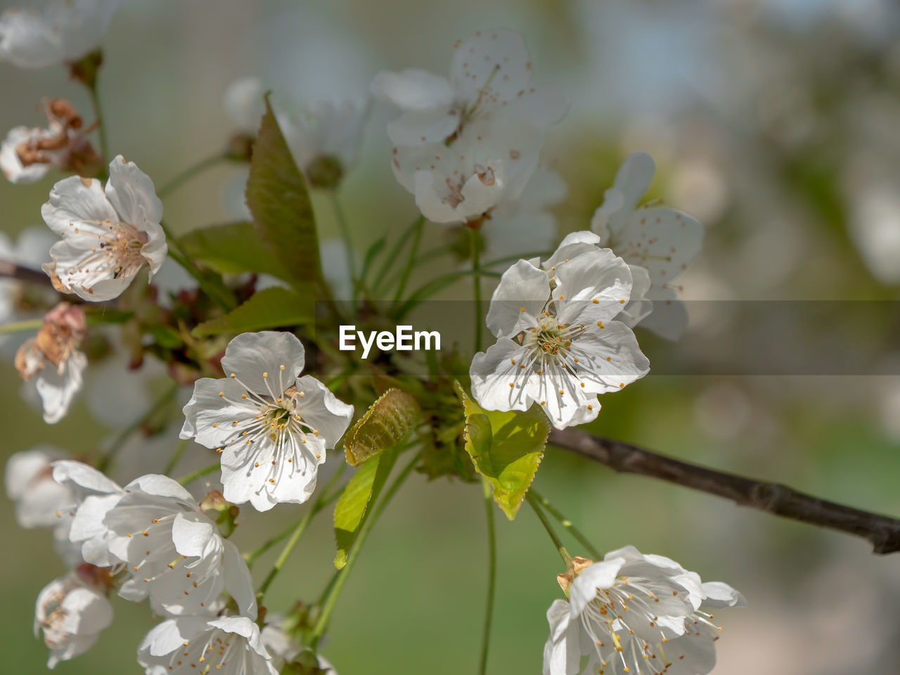 flowering plant, flower, beauty in nature, plant, growth, fragility, vulnerability, white color, freshness, petal, close-up, focus on foreground, flower head, inflorescence, no people, nature, springtime, pollen, blossom, day, outdoors, cherry blossom, cherry tree, spring