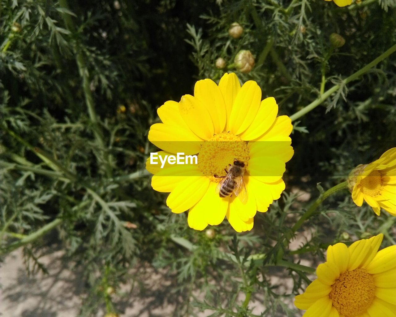 flower, yellow, petal, fragility, nature, beauty in nature, flower head, animal themes, freshness, insect, one animal, animals in the wild, growth, bee, plant, outdoors, pollen, no people, animal wildlife, pollination, symbiotic relationship, day, honey bee, blooming, high angle view, close-up, sunflower, bumblebee, buzzing