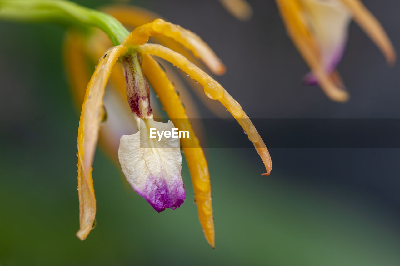 flower, close-up, petal, flowering plant, beauty in nature, plant, vulnerability, yellow, fragility, freshness, growth, flower head, focus on foreground, nature, inflorescence, no people, selective focus, botany, pollen, purple, sepal, wilted plant