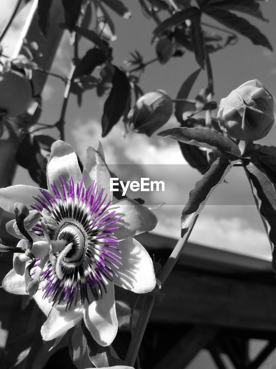 flower, petal, fragility, flower head, beauty in nature, growth, freshness, nature, blooming, plant, no people, day, close-up, outdoors, purple, focus on foreground, passion flower