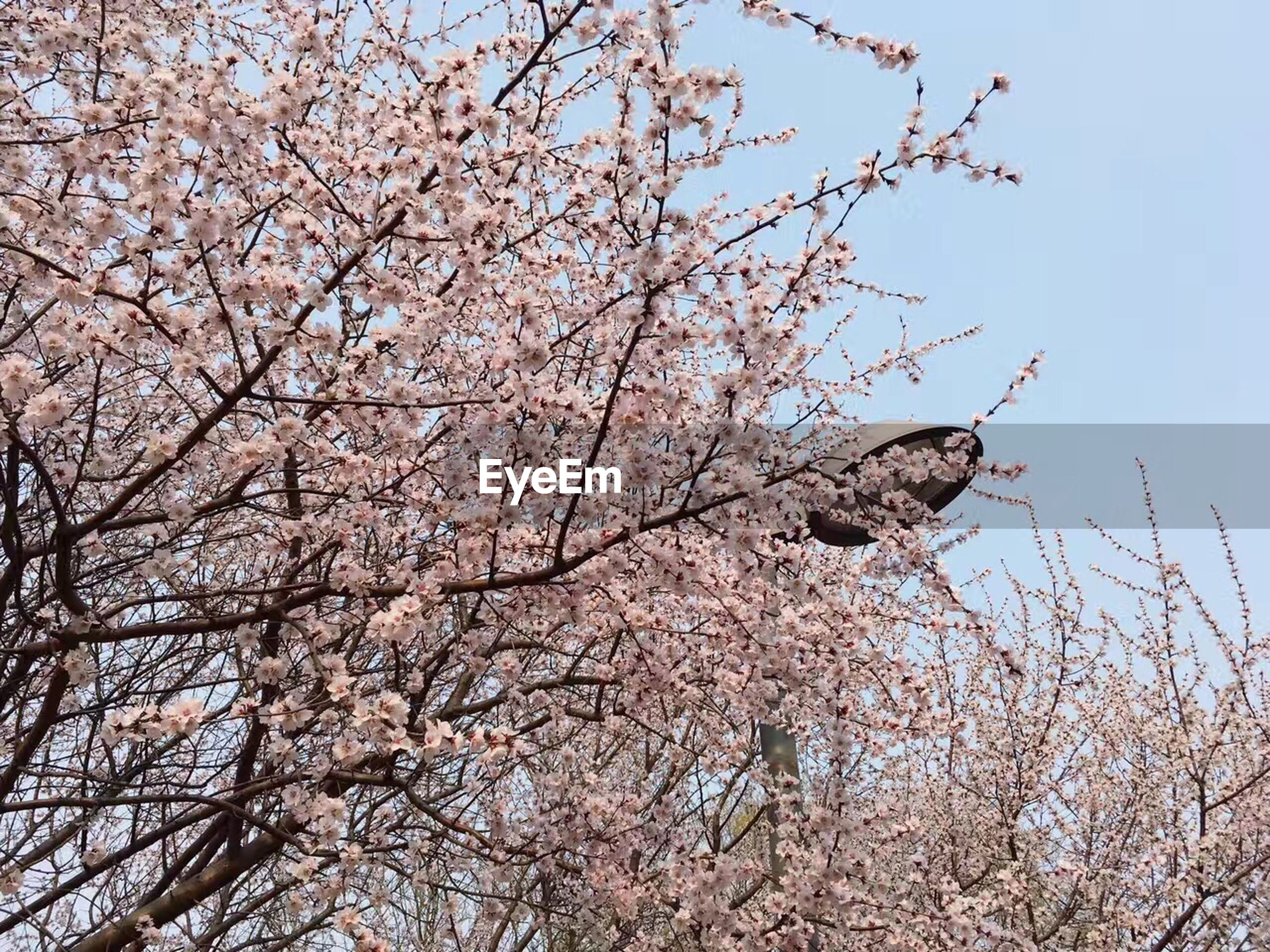 low angle view, tree, nature, springtime, sky, beauty in nature, branch, clear sky, outdoors, growth, no people, day, pink color, flower, blossom, close-up