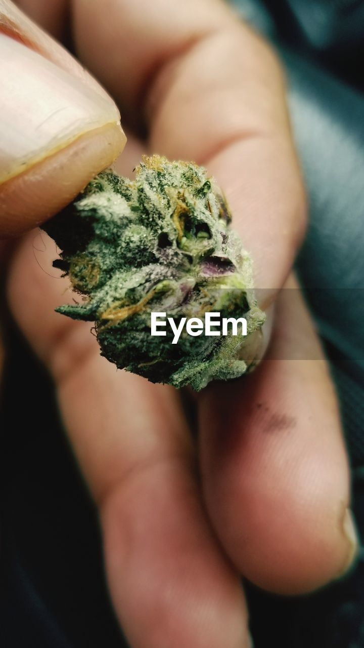 holding, human hand, close-up, hand, marijuana - herbal cannabis, human body part, one person, focus on foreground, real people, unrecognizable person, food and drink, narcotic, green color, healthcare and medicine, lifestyles, food, cannabis plant, leisure activity, finger, medical cannabis