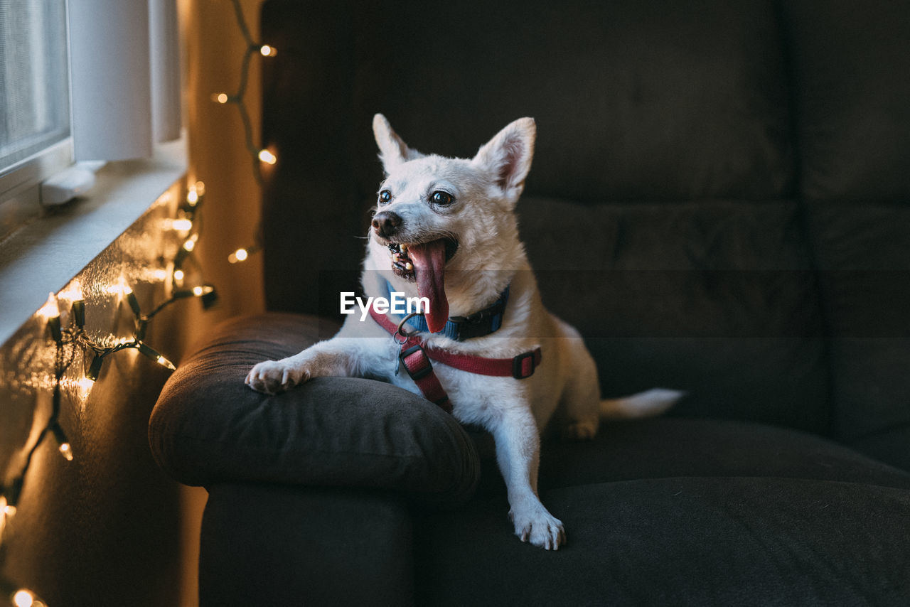 Portrait Of Dog Relaxing Couch