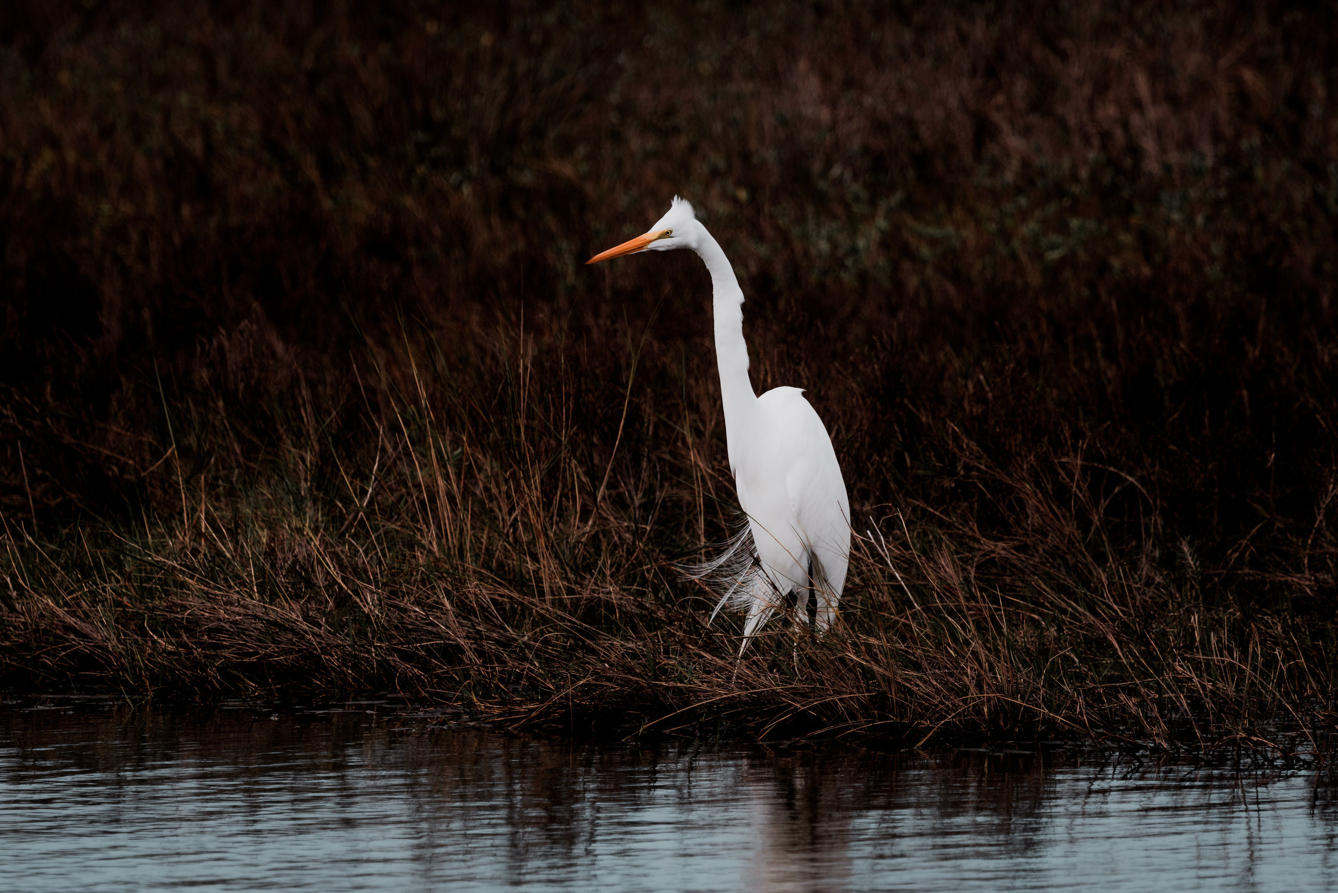 Egret on grass by lake