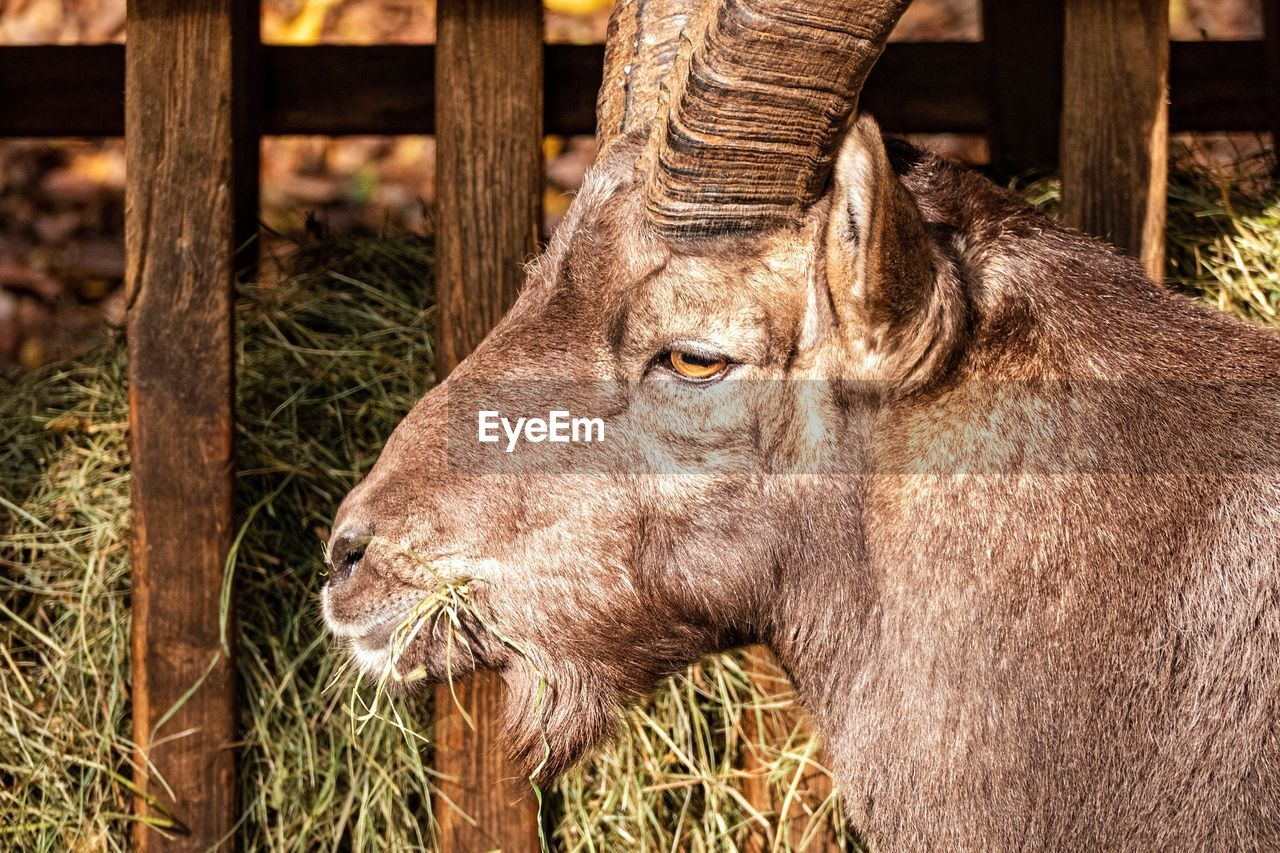 animal, animal themes, mammal, animal wildlife, one animal, animals in the wild, vertebrate, animal body part, day, no people, domestic animals, animal head, nature, fence, barrier, close-up, outdoors, plant, boundary, land, herbivorous, snout