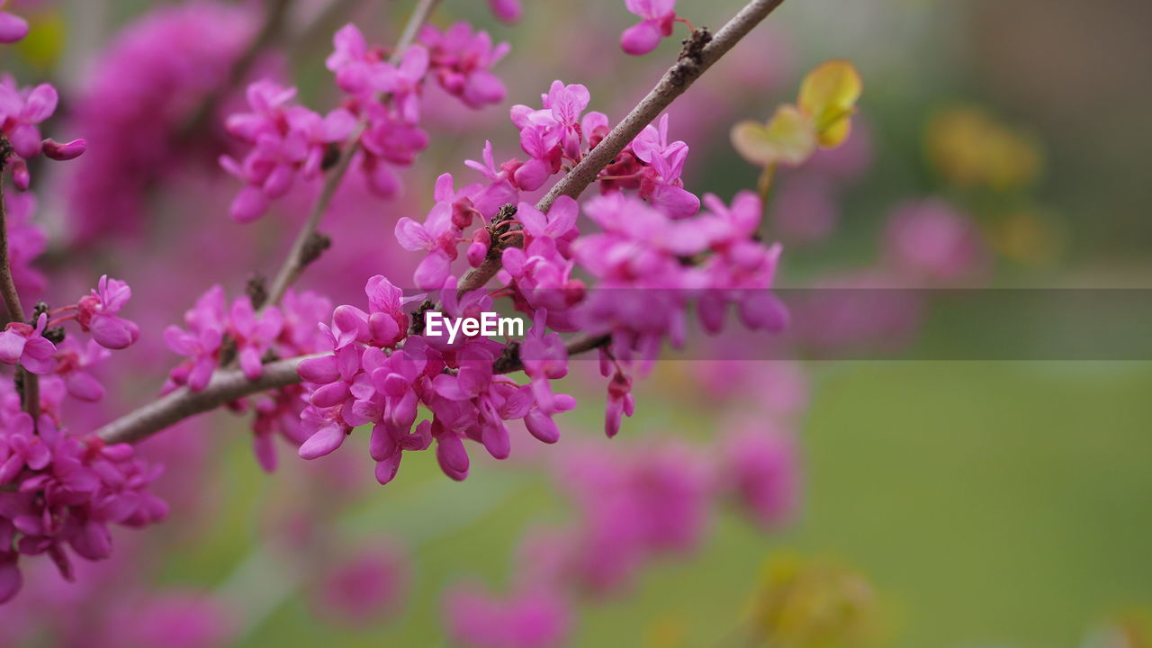 flowering plant, flower, freshness, fragility, beauty in nature, vulnerability, plant, growth, selective focus, close-up, pink color, nature, focus on foreground, day, petal, springtime, no people, blossom, purple, botany, flower head, spring