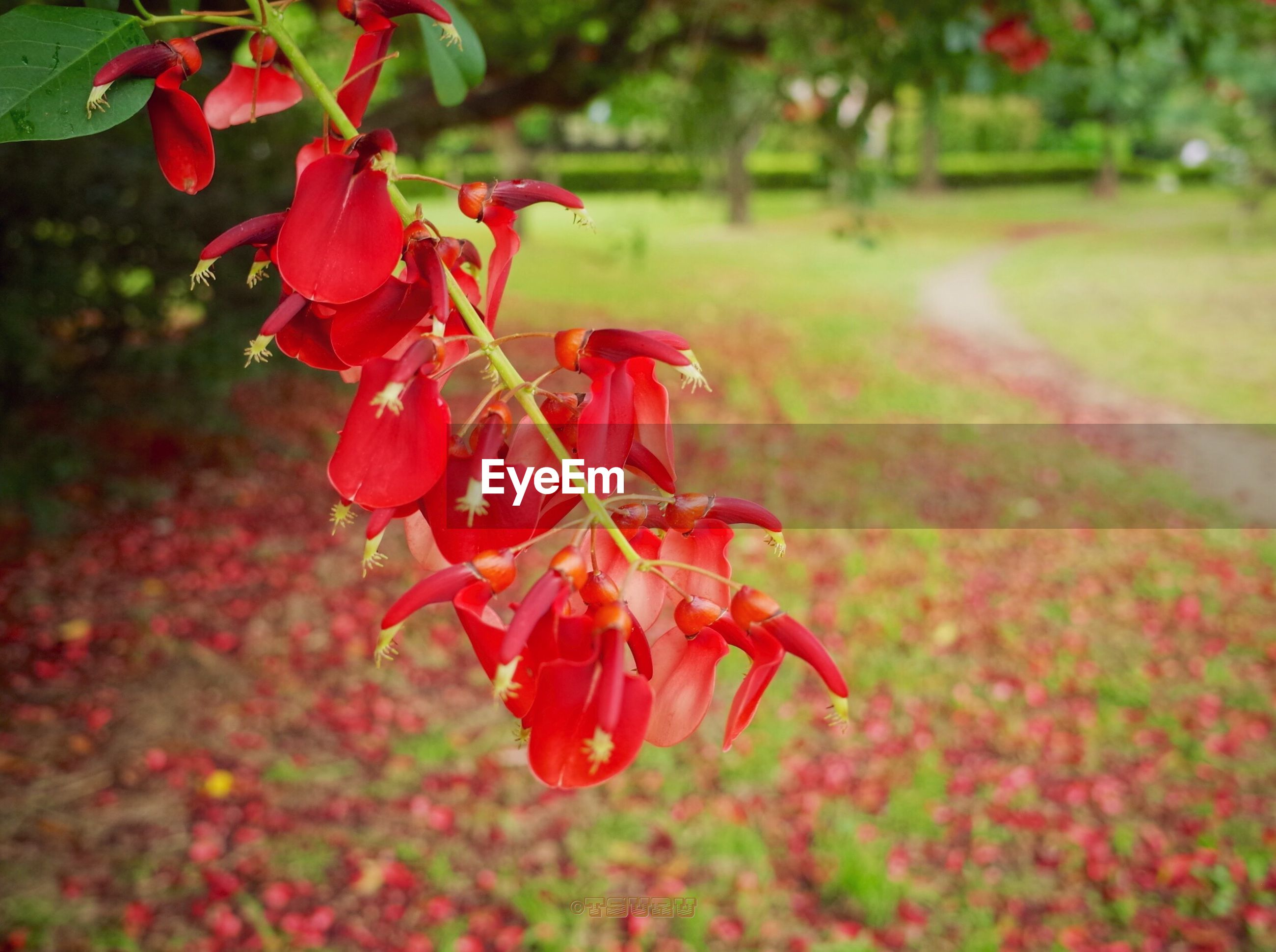 flower, freshness, red, growth, fragility, beauty in nature, petal, focus on foreground, nature, plant, blooming, close-up, leaf, flower head, blossom, in bloom, selective focus, park - man made space, day, outdoors