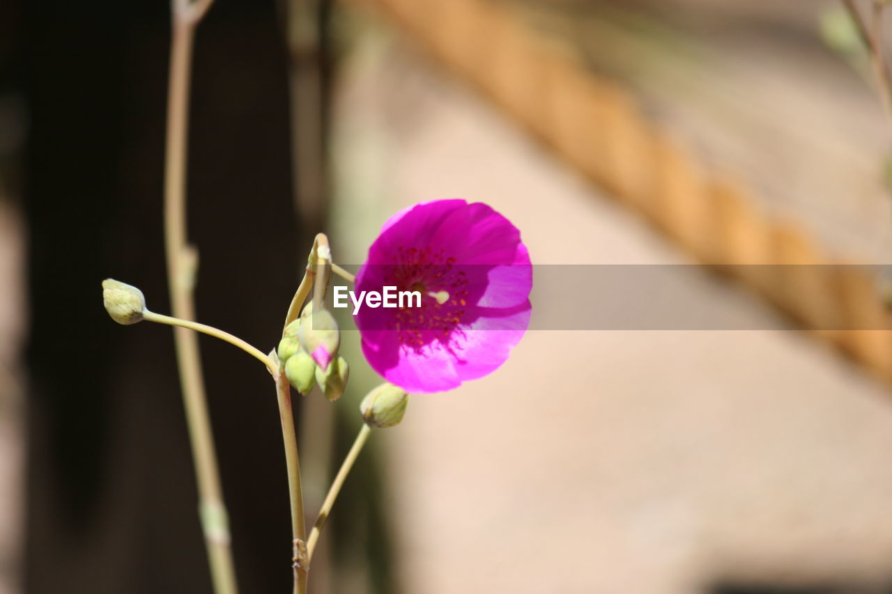 flower, growth, plant, nature, beauty in nature, fragility, freshness, petal, focus on foreground, close-up, no people, outdoors, flower head, blooming, day