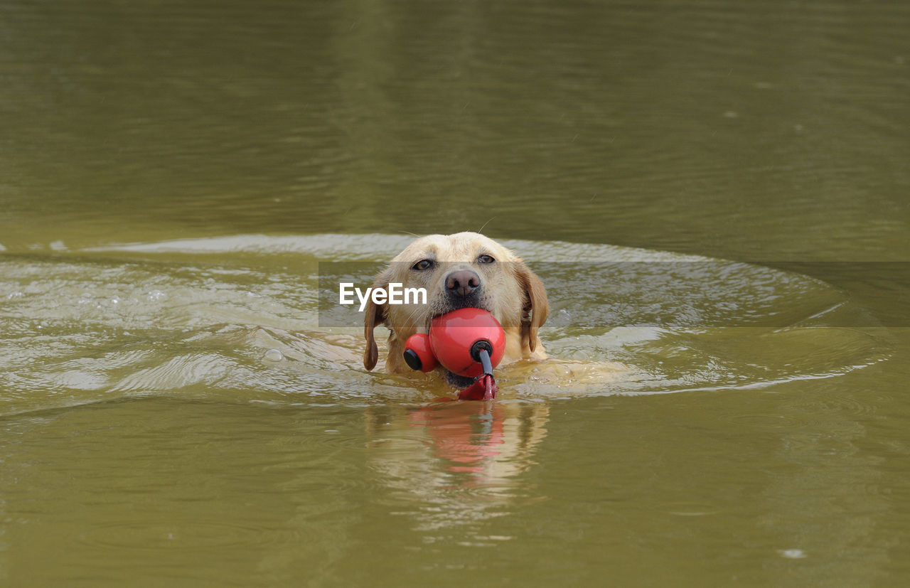 Labrador Retriever Carrying Toy In Mouth At Lake