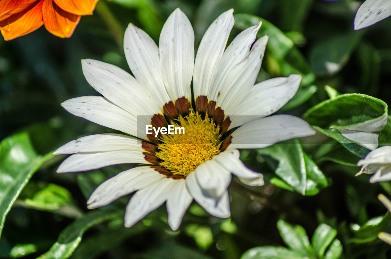 flower, flowering plant, fragility, vulnerability, petal, flower head, plant, freshness, beauty in nature, growth, inflorescence, close-up, pollen, white color, focus on foreground, day, nature, gazania, no people, outdoors