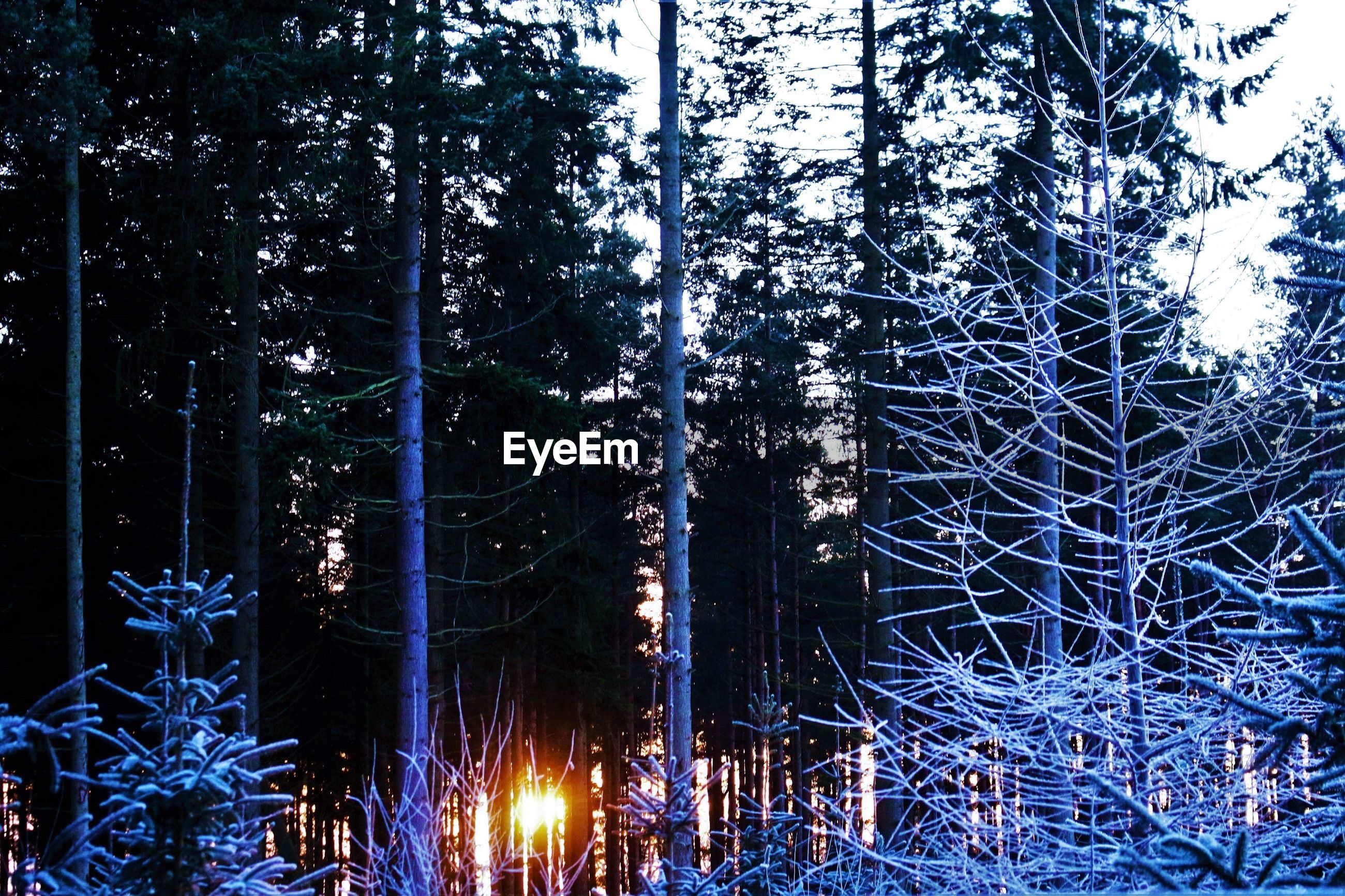 ILLUMINATED TREES IN FOREST DURING WINTER