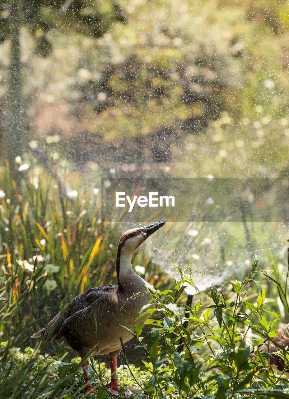 Goose On Grassy Field