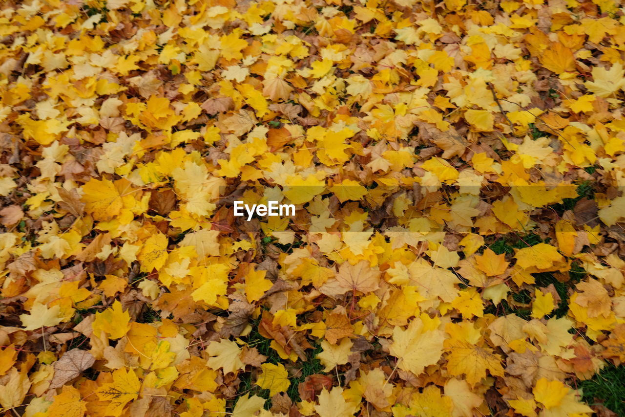 yellow, full frame, abundance, backgrounds, autumn, beauty in nature, nature, plant part, leaf, vulnerability, no people, fragility, flower, flowering plant, close-up, change, day, high angle view, plant, freshness, outdoors, leaves, flower head, maple leaf, natural condition