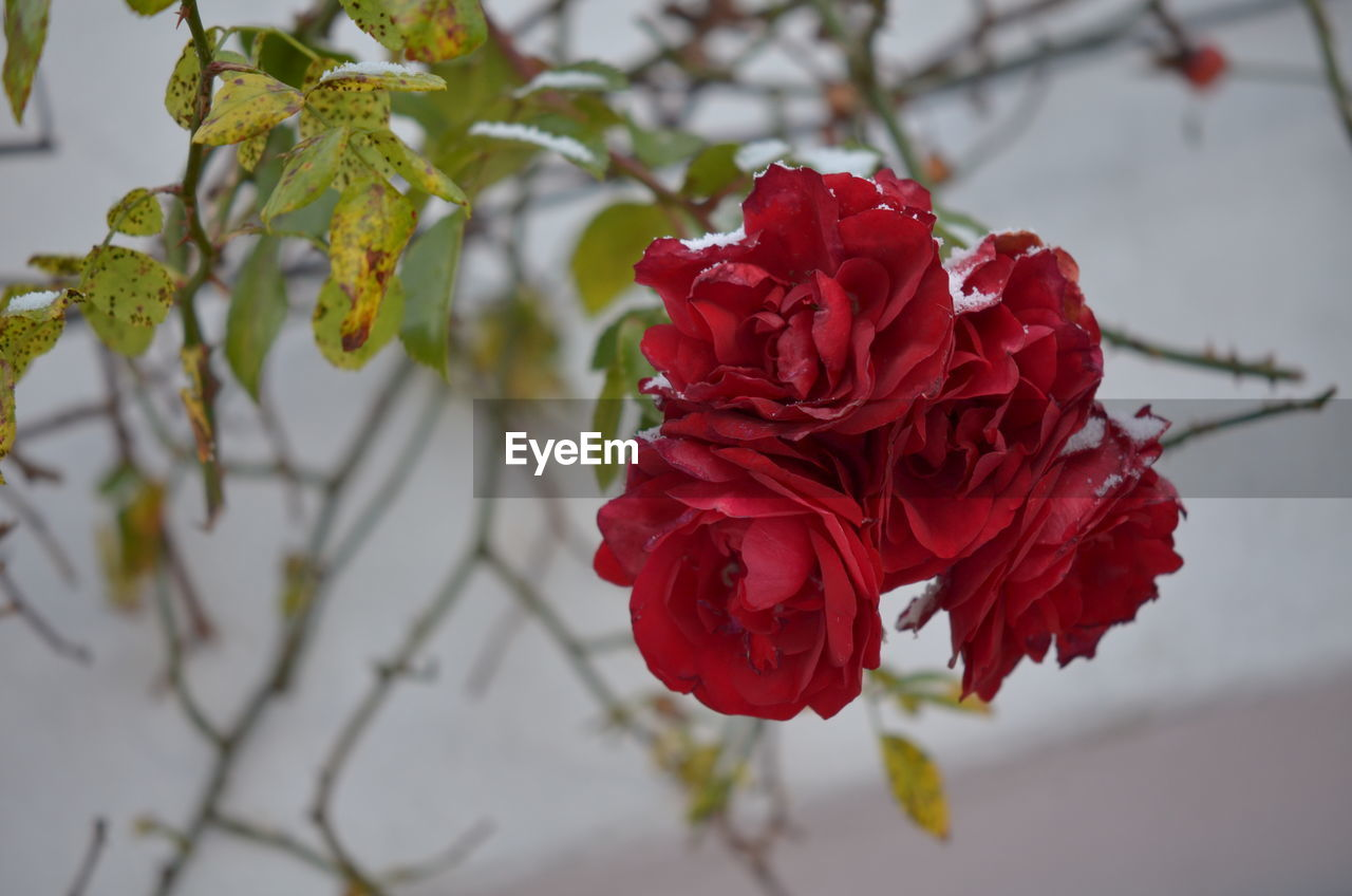 flower, red, nature, beauty in nature, petal, rose - flower, growth, plant, fragility, flower head, no people, outdoors, close-up, freshness, blooming, day