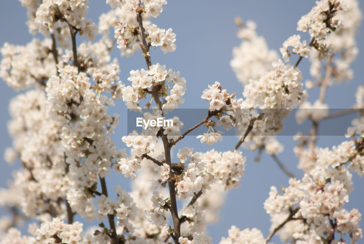 plant, fragility, vulnerability, flower, flowering plant, growth, blossom, beauty in nature, springtime, tree, focus on foreground, day, white color, freshness, low angle view, no people, nature, cherry blossom, close-up, branch, cherry tree, outdoors, flower head