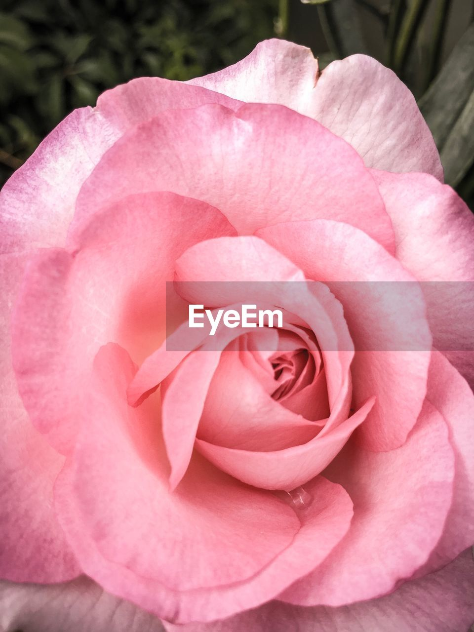 flower, flowering plant, plant, beauty in nature, pink color, vulnerability, petal, fragility, inflorescence, freshness, close-up, rose, flower head, growth, nature, rose - flower, no people, day, outdoors, softness