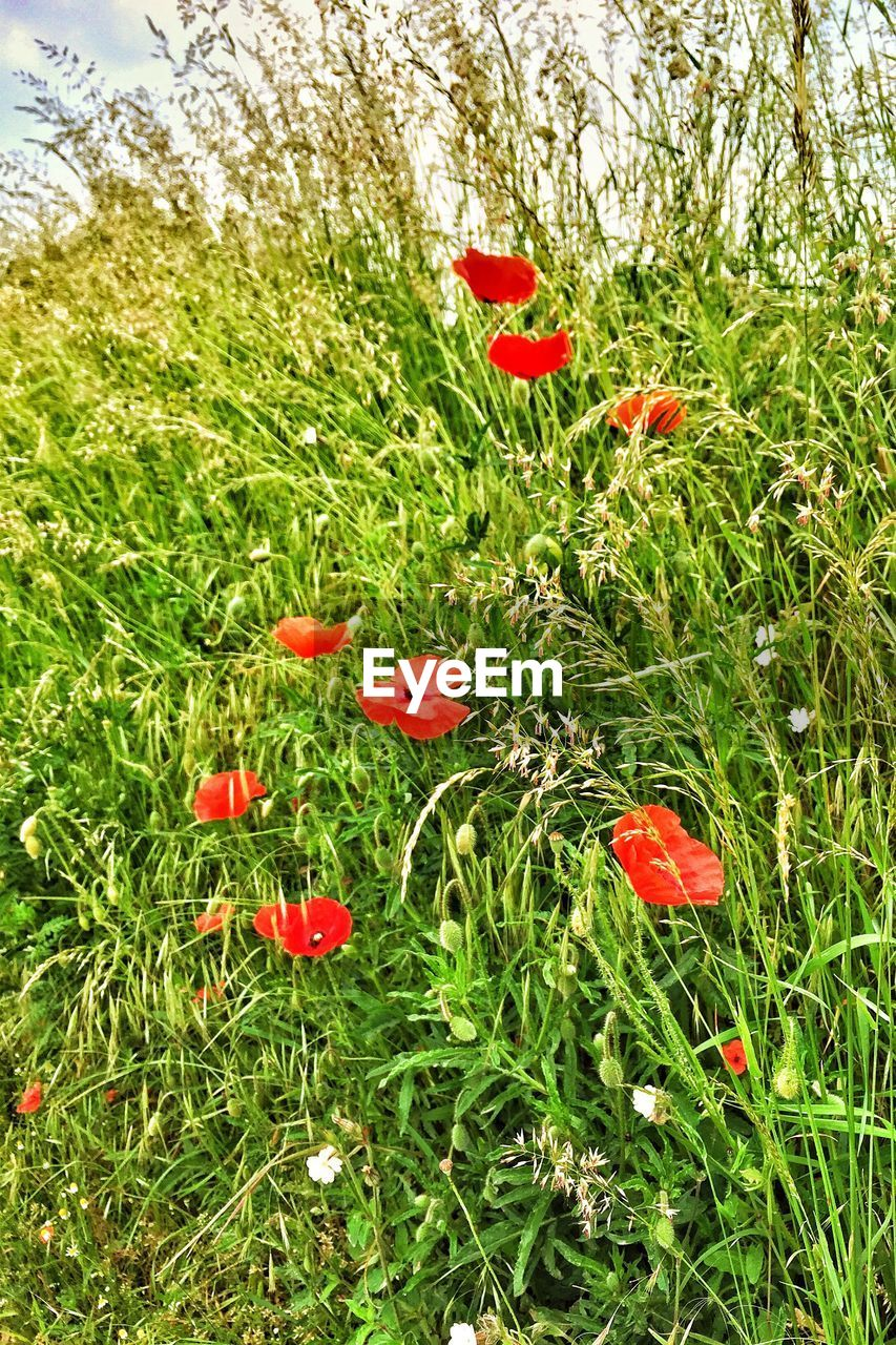 grass, red, growth, field, flower, poppy, nature, beauty in nature, plant, no people, outdoors, day, green color, freshness, fragility, blooming, flower head, close-up
