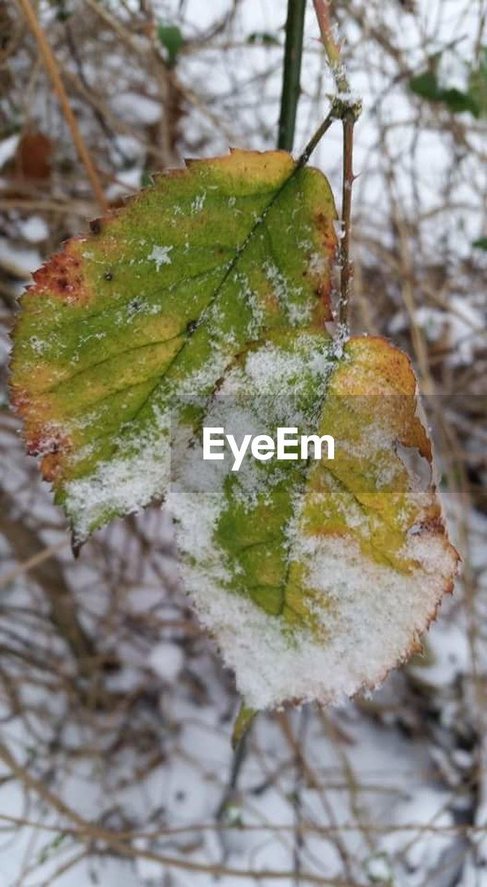 cold temperature, nature, winter, snow, beauty in nature, close-up, green color, focus on foreground, outdoors, day, growth, no people, frozen, leaf, tree, branch, freshness