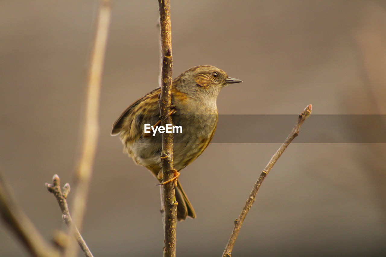 bird, animal, animal wildlife, animal themes, vertebrate, animals in the wild, one animal, perching, focus on foreground, day, close-up, no people, twig, nature, plant, outdoors, sparrow, branch, looking, beauty in nature