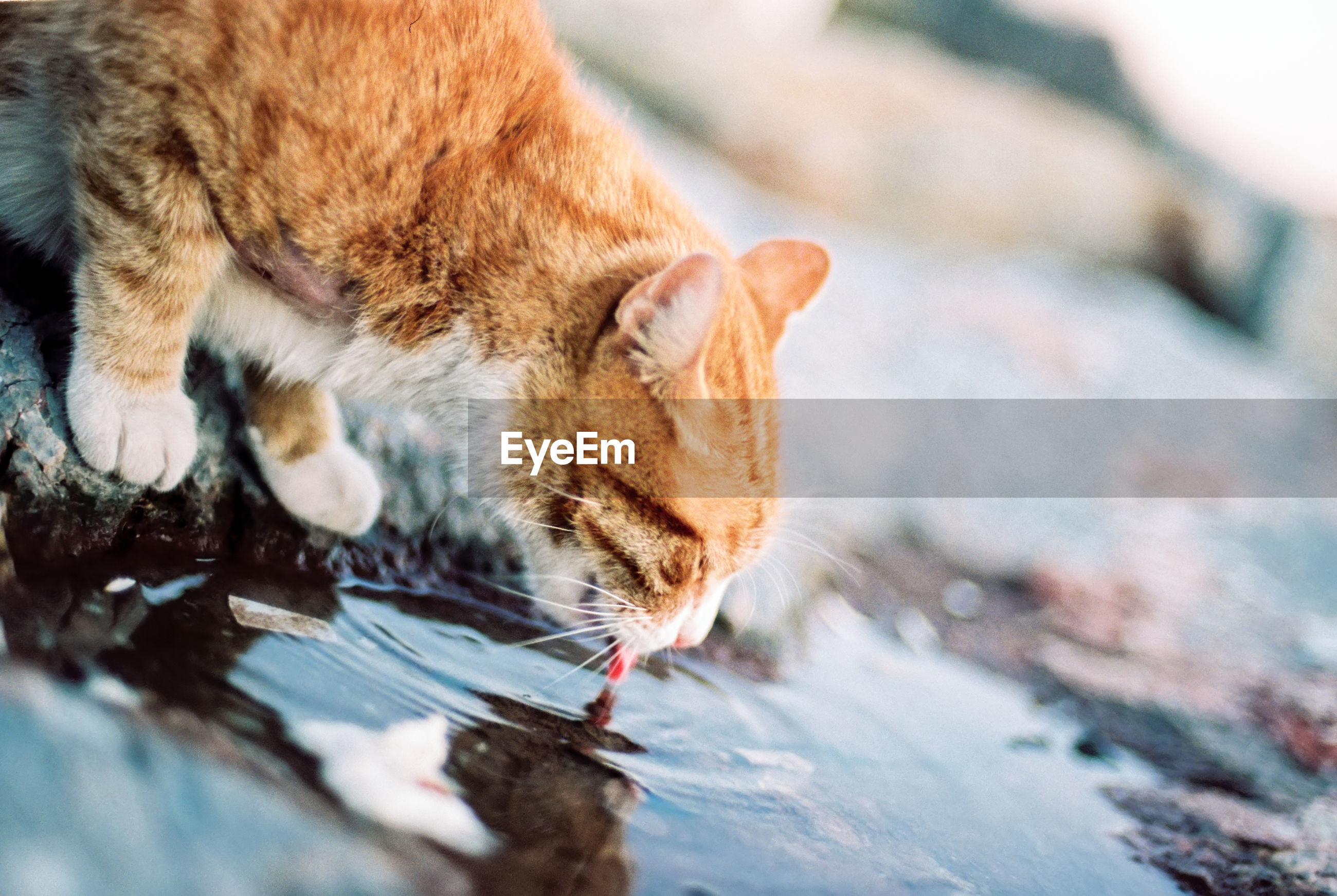 Close-up of cat drinking water from puddle