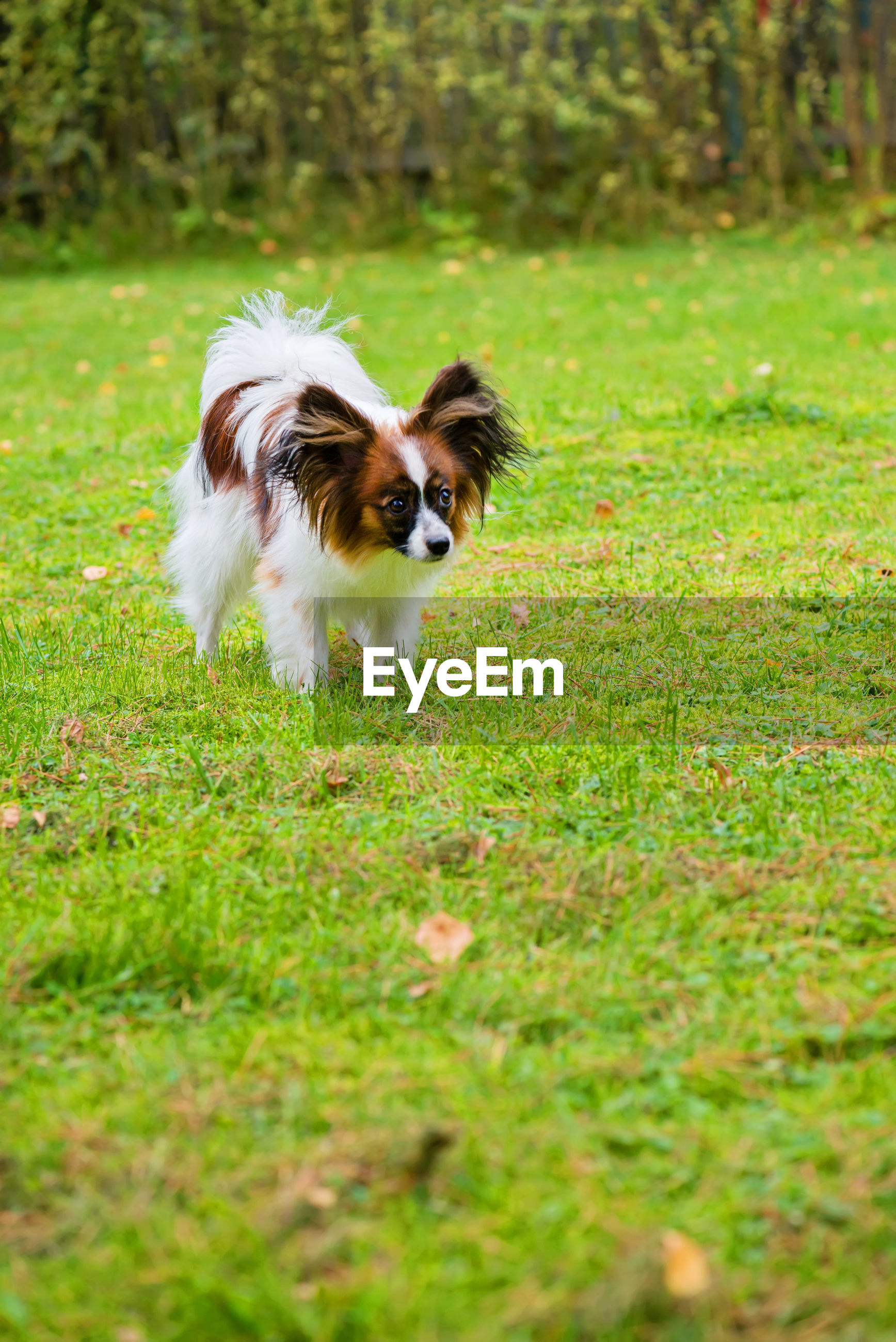 Portrait of a papillon purebreed dog walking on the grass
