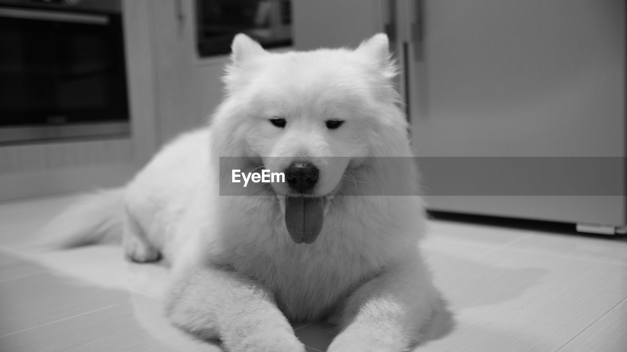 pets, domestic, domestic animals, dog, one animal, canine, animal themes, mammal, animal, vertebrate, portrait, looking at camera, indoors, flooring, no people, focus on foreground, home interior, relaxation, white color, close-up, pomeranian, animal head