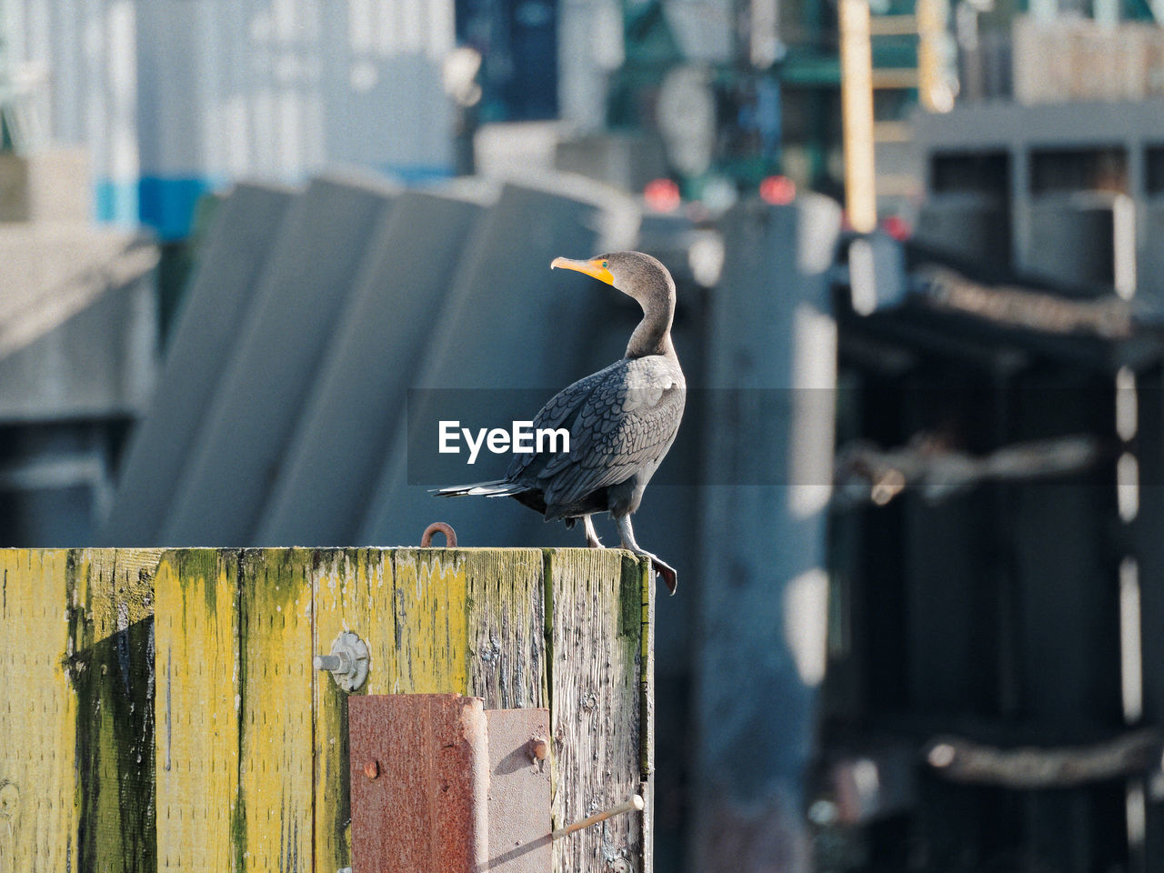 animal themes, animal wildlife, animals in the wild, animal, vertebrate, bird, perching, one animal, focus on foreground, day, wood - material, architecture, no people, outdoors, built structure, close-up, full length, fence, boundary, nature, seagull, wooden post