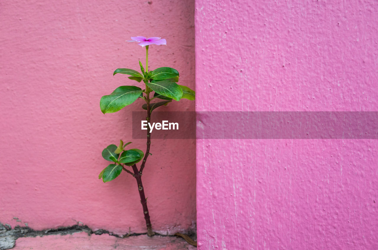 plant, wall - building feature, plant part, leaf, pink color, growth, beauty in nature, close-up, nature, green color, no people, vulnerability, fragility, plant stem, built structure, flower, architecture, outdoors, freshness, day