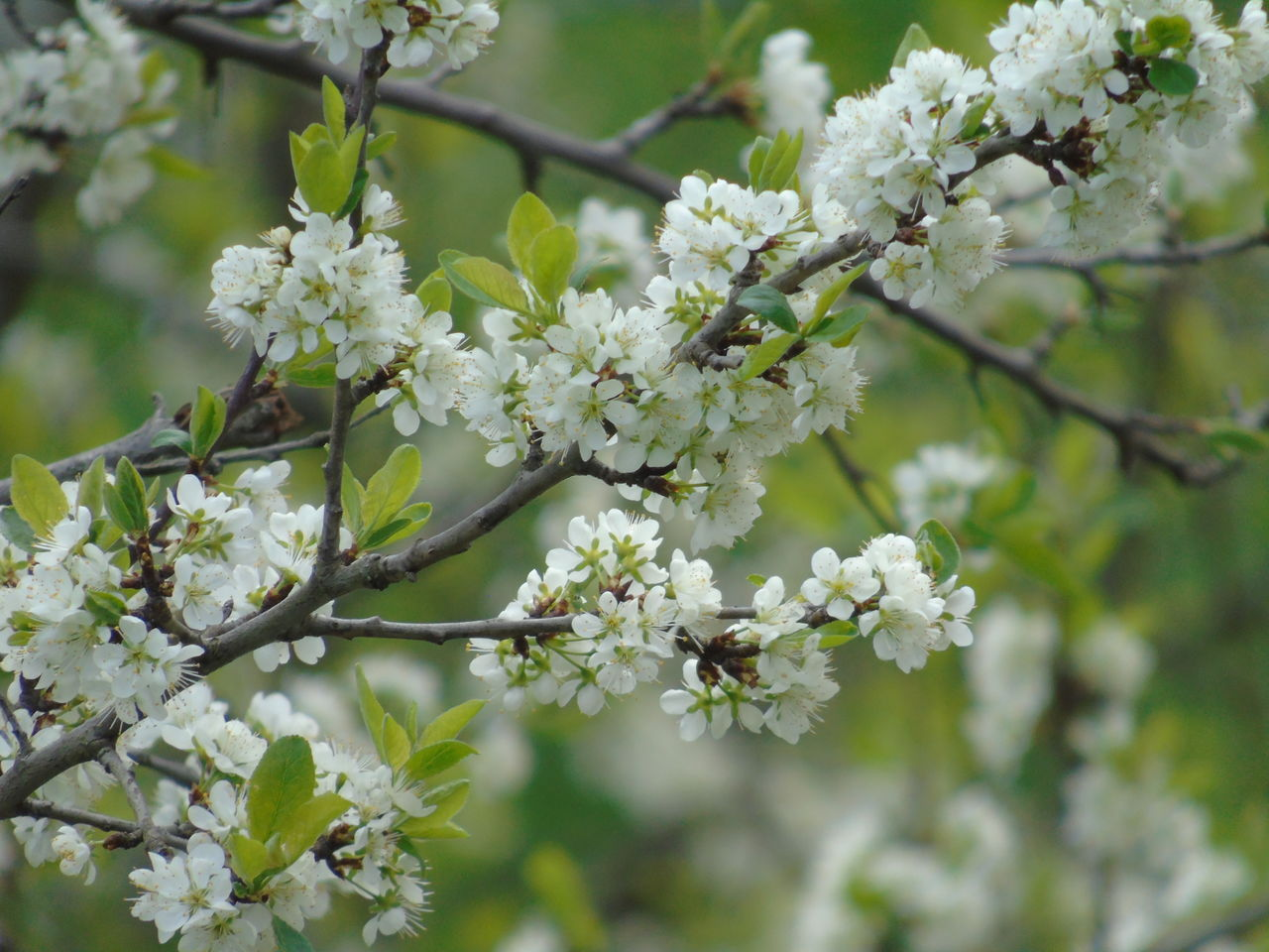 flower, growth, blossom, nature, tree, white color, fragility, branch, apple blossom, beauty in nature, freshness, botany, springtime, no people, spring, day, outdoors, blooming, close-up, flower head